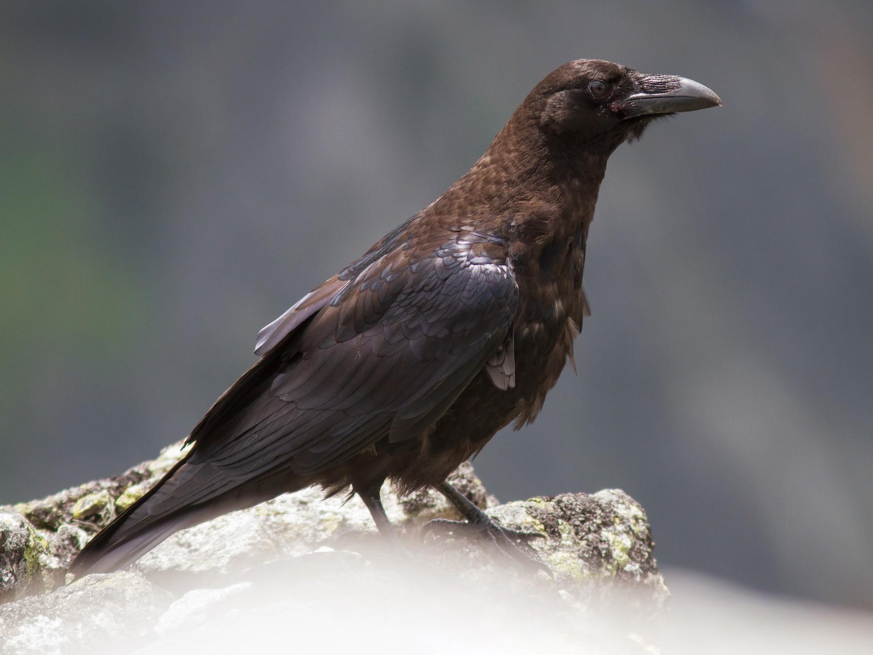 Common Raven - Alexander Hagge