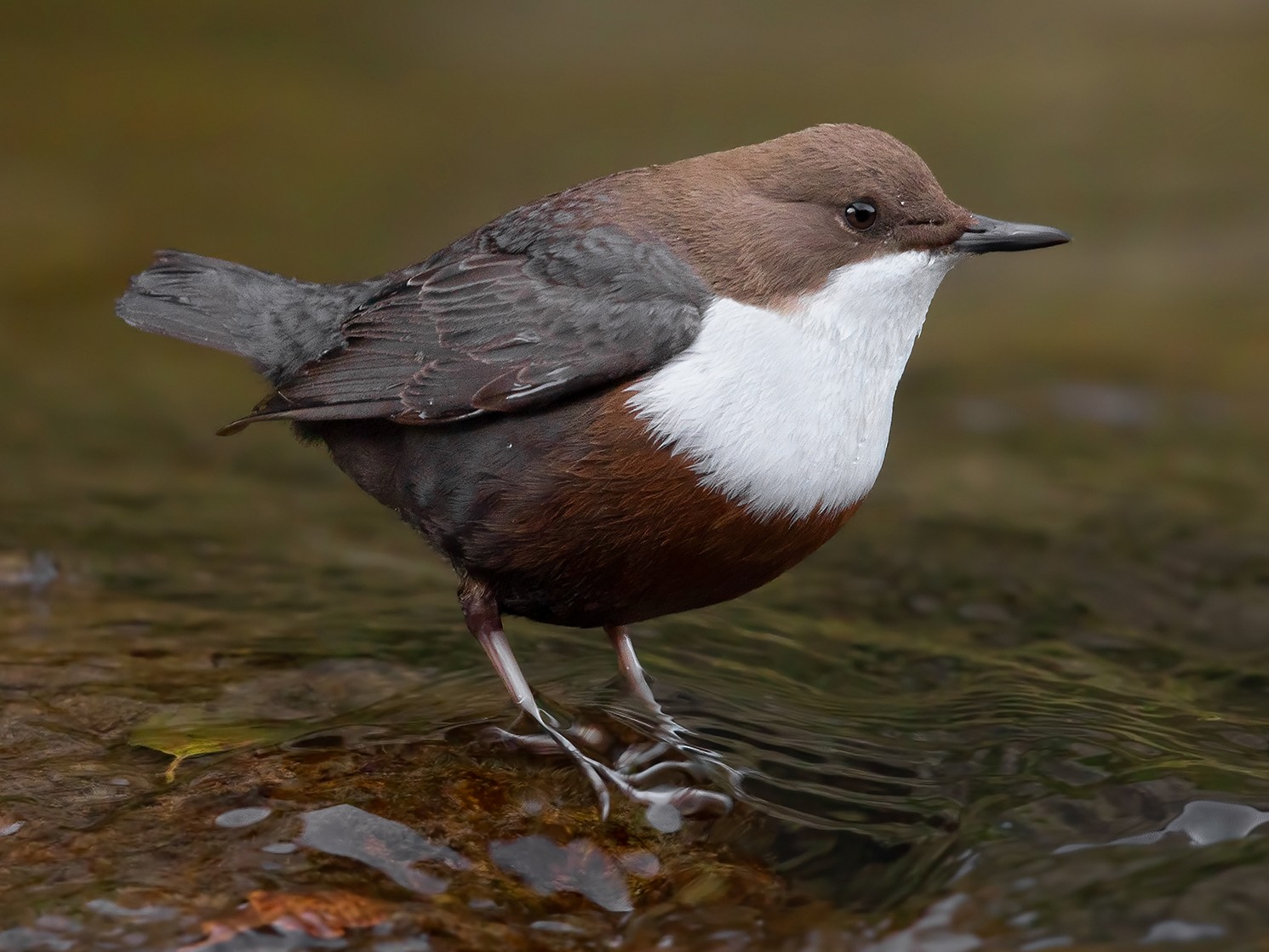White-throated Dipper - Marco Valentini