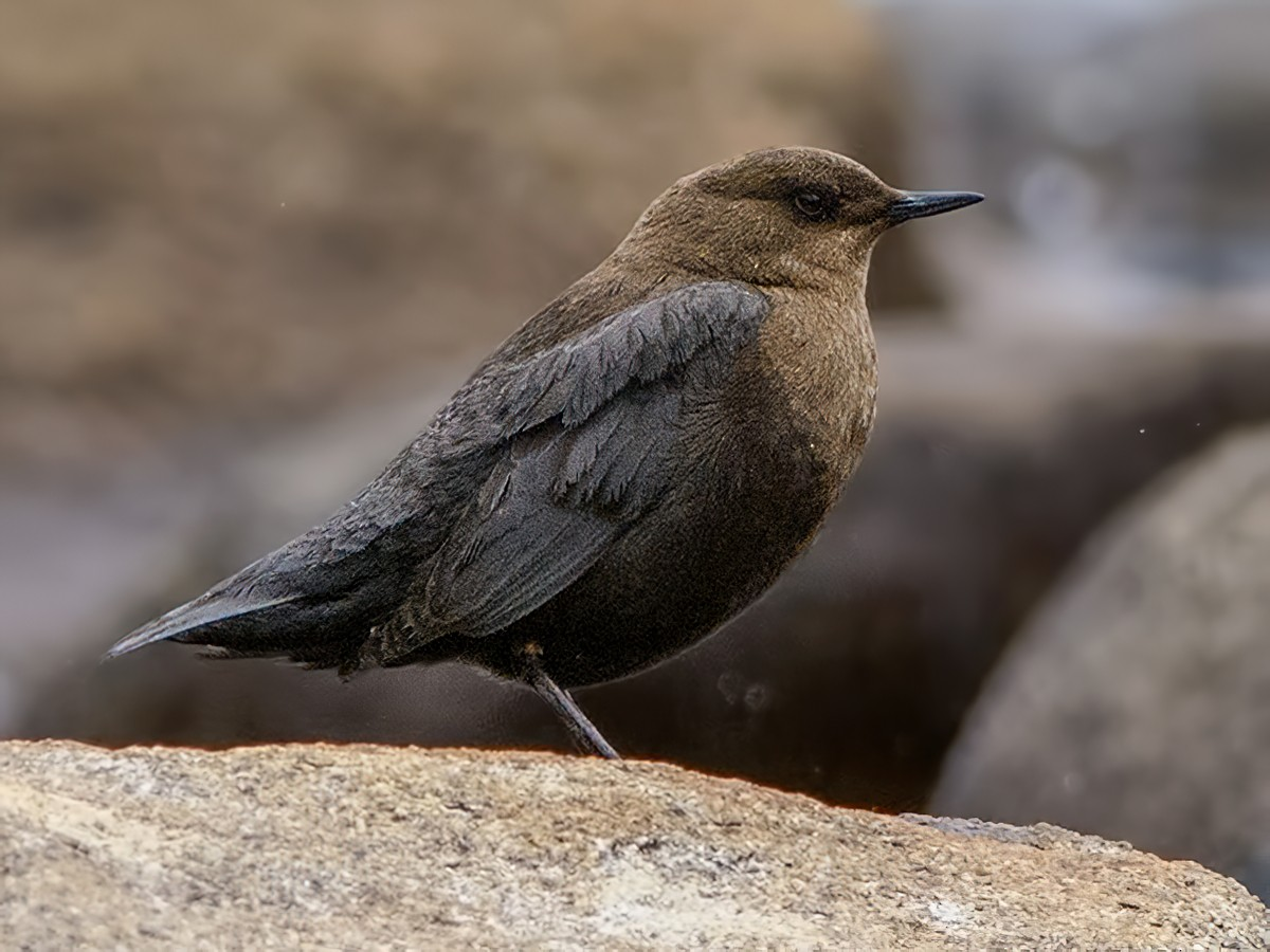 White-throated Dipper - Santanu Manna