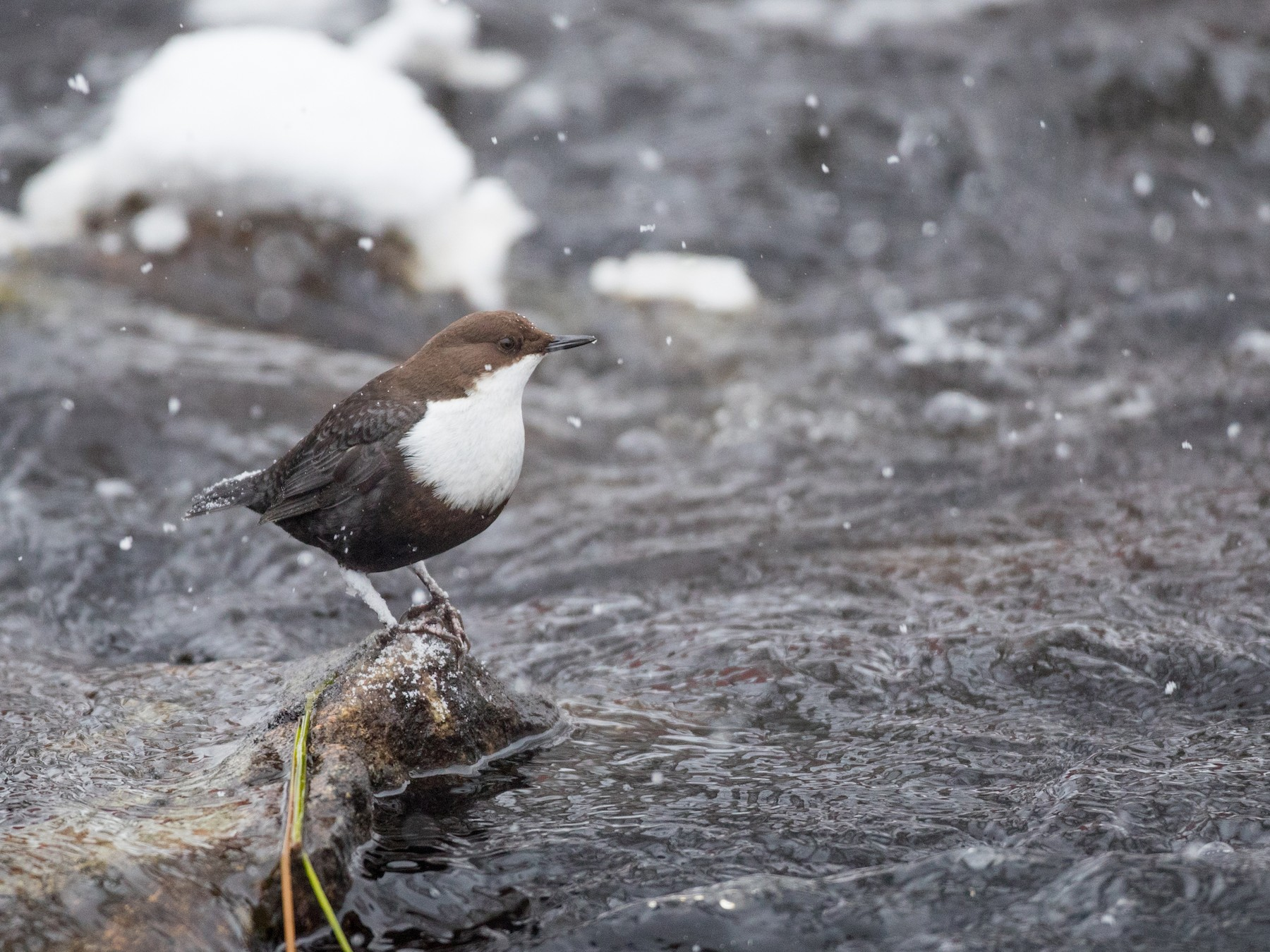 White-throated Dipper - Ian Davies