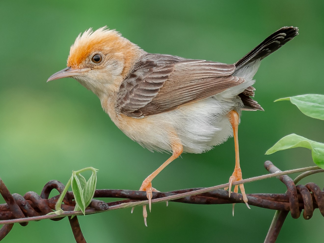 Golden-headed Cisticola - Natthaphat Chotjuckdikul