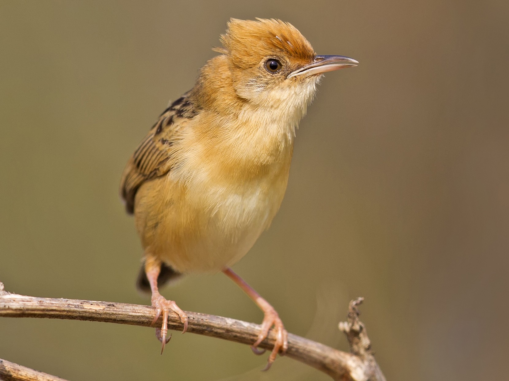 Golden-headed Cisticola - Mat Gilfedder