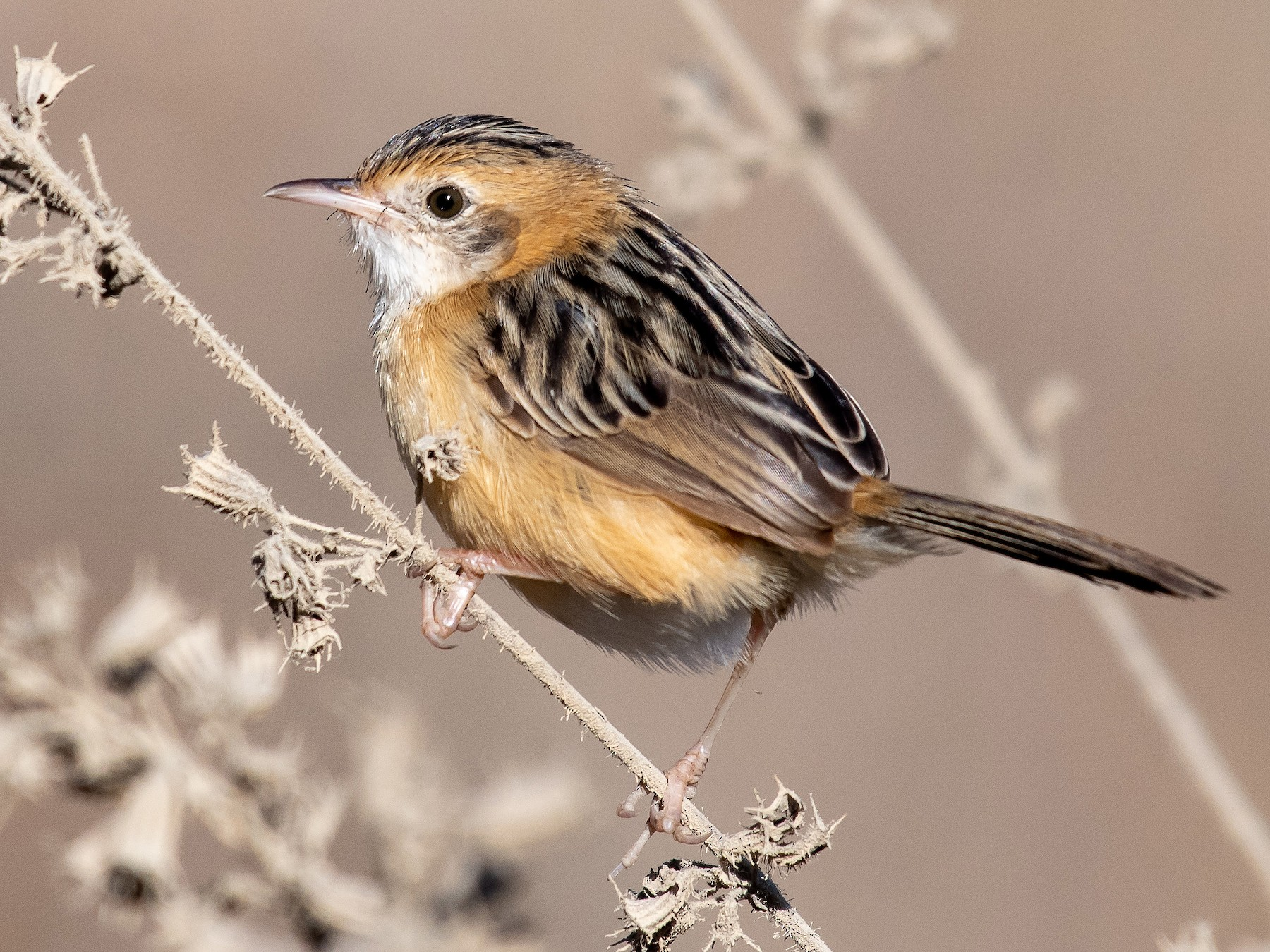 Golden-headed Cisticola - Gillie Matthew