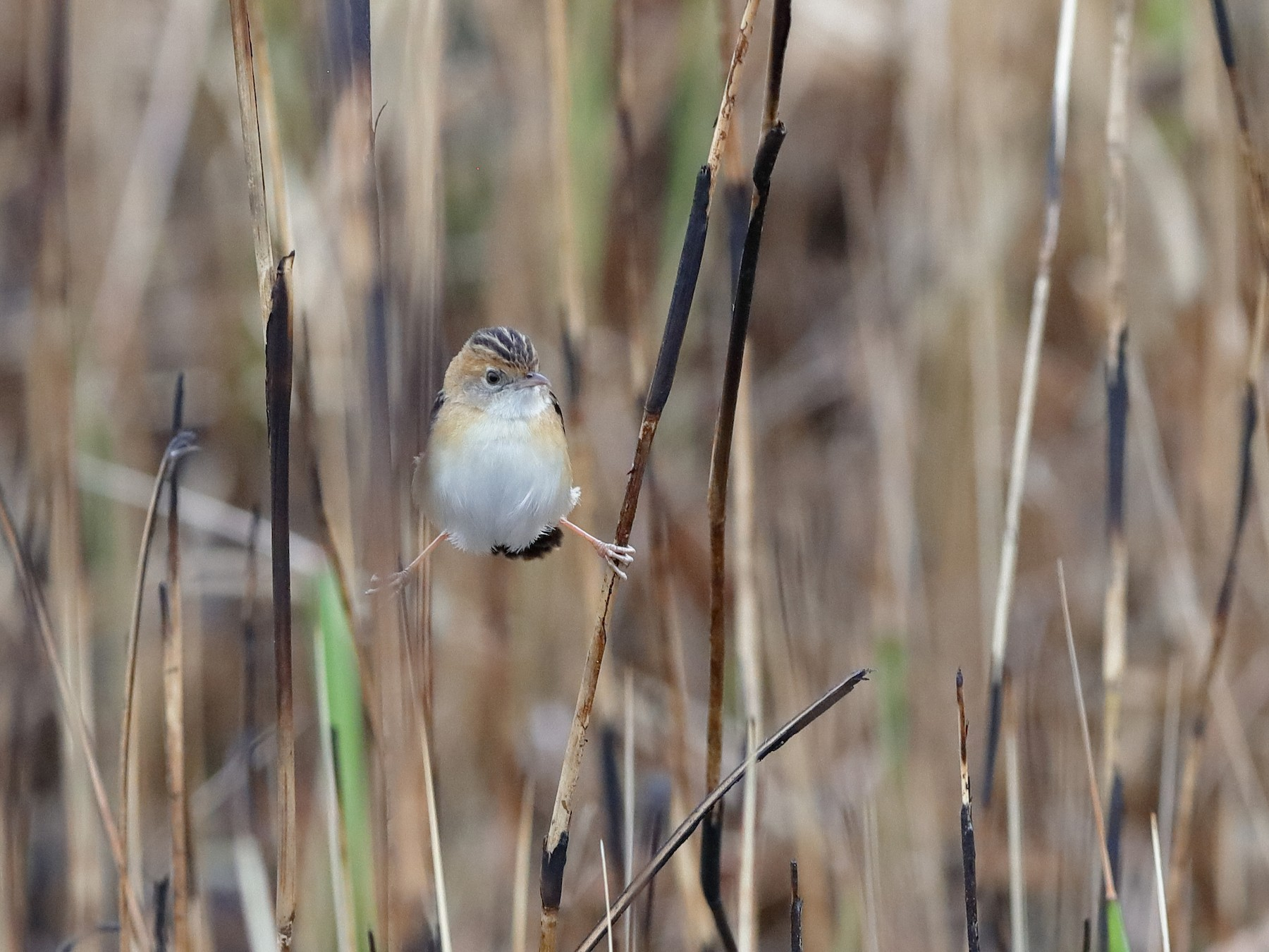 Golden-headed Cisticola - Holger Teichmann
