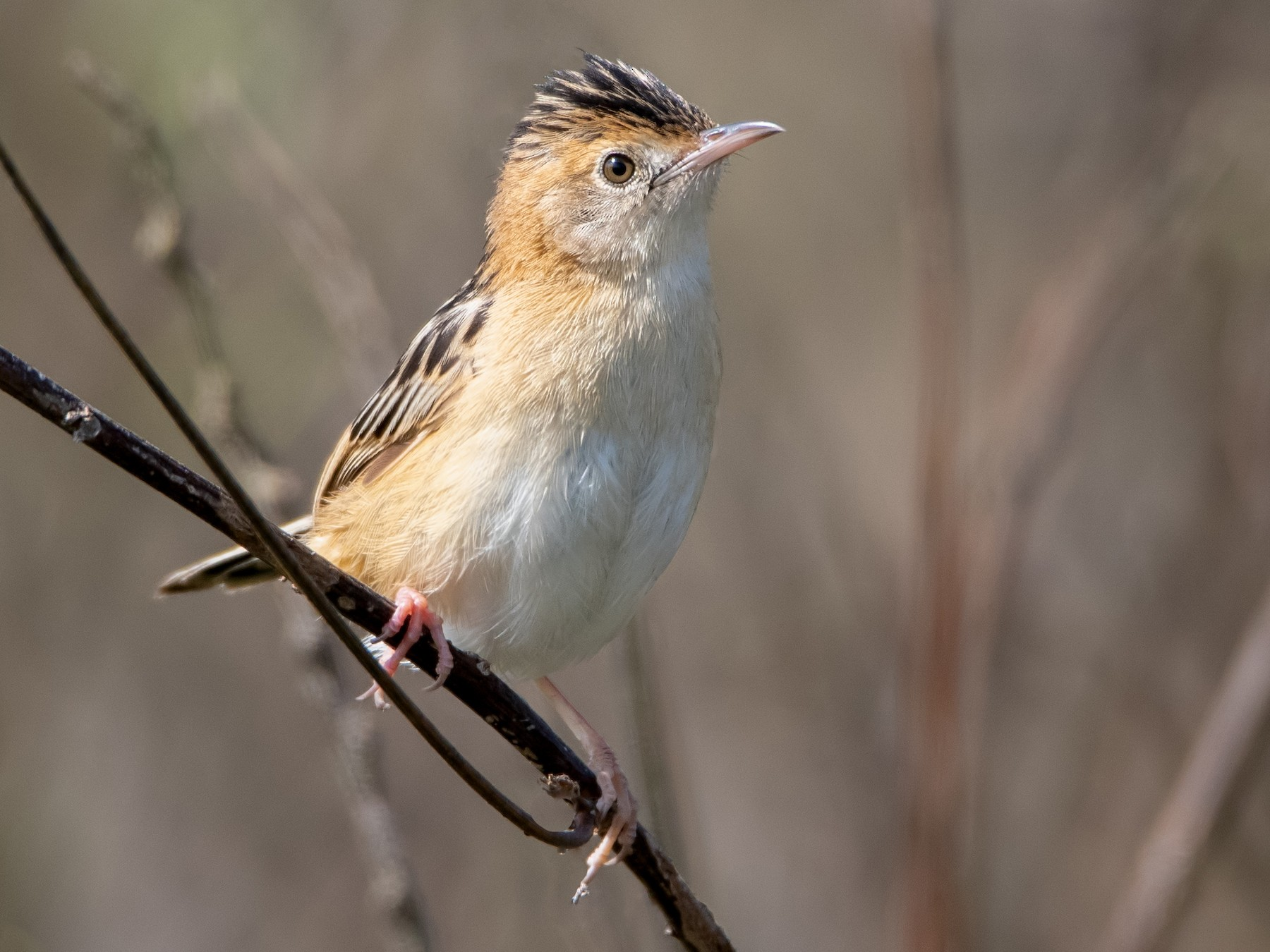 Golden-headed Cisticola - Hayley Alexander