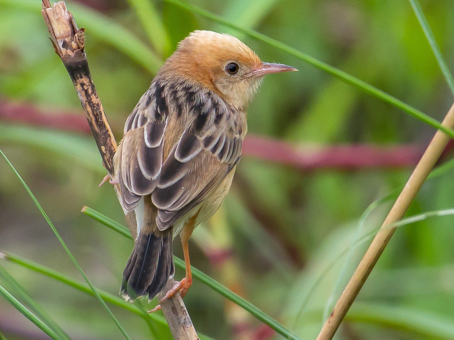 Golden-headed Cisticola - Arup Banerjee
