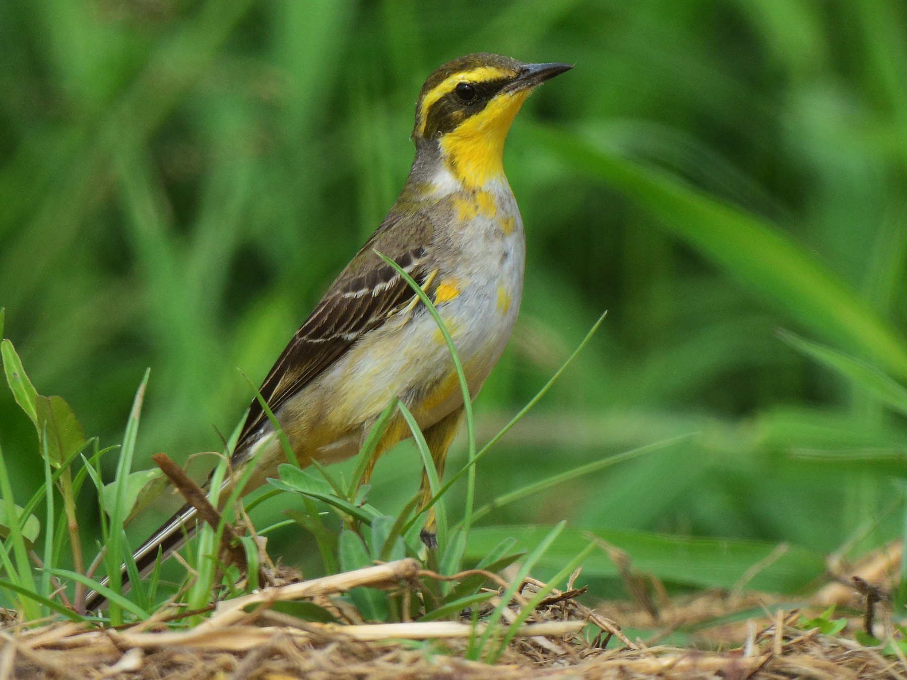 Eastern Yellow Wagtail - Jhih-Wei (志偉) TSAI (蔡)