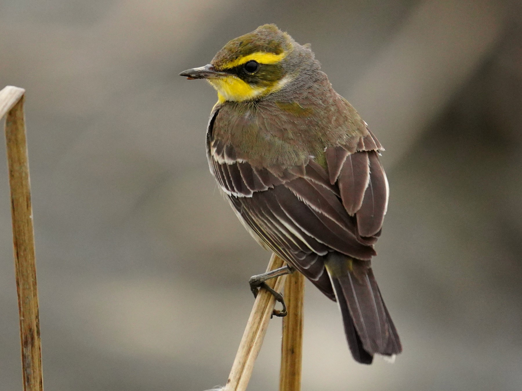 Eastern Yellow Wagtail - JingZu Tu