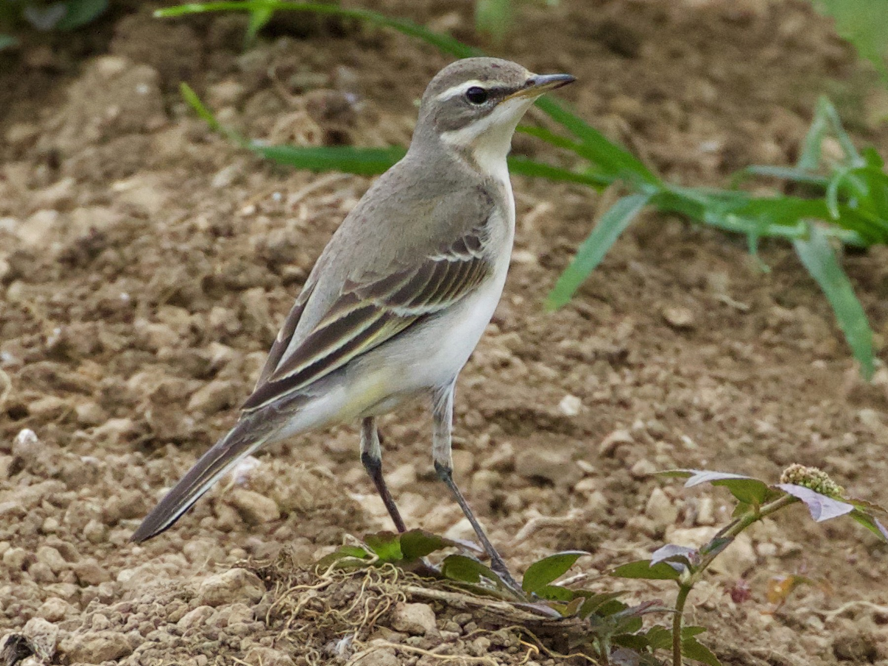 Eastern Yellow Wagtail - Scott Baker