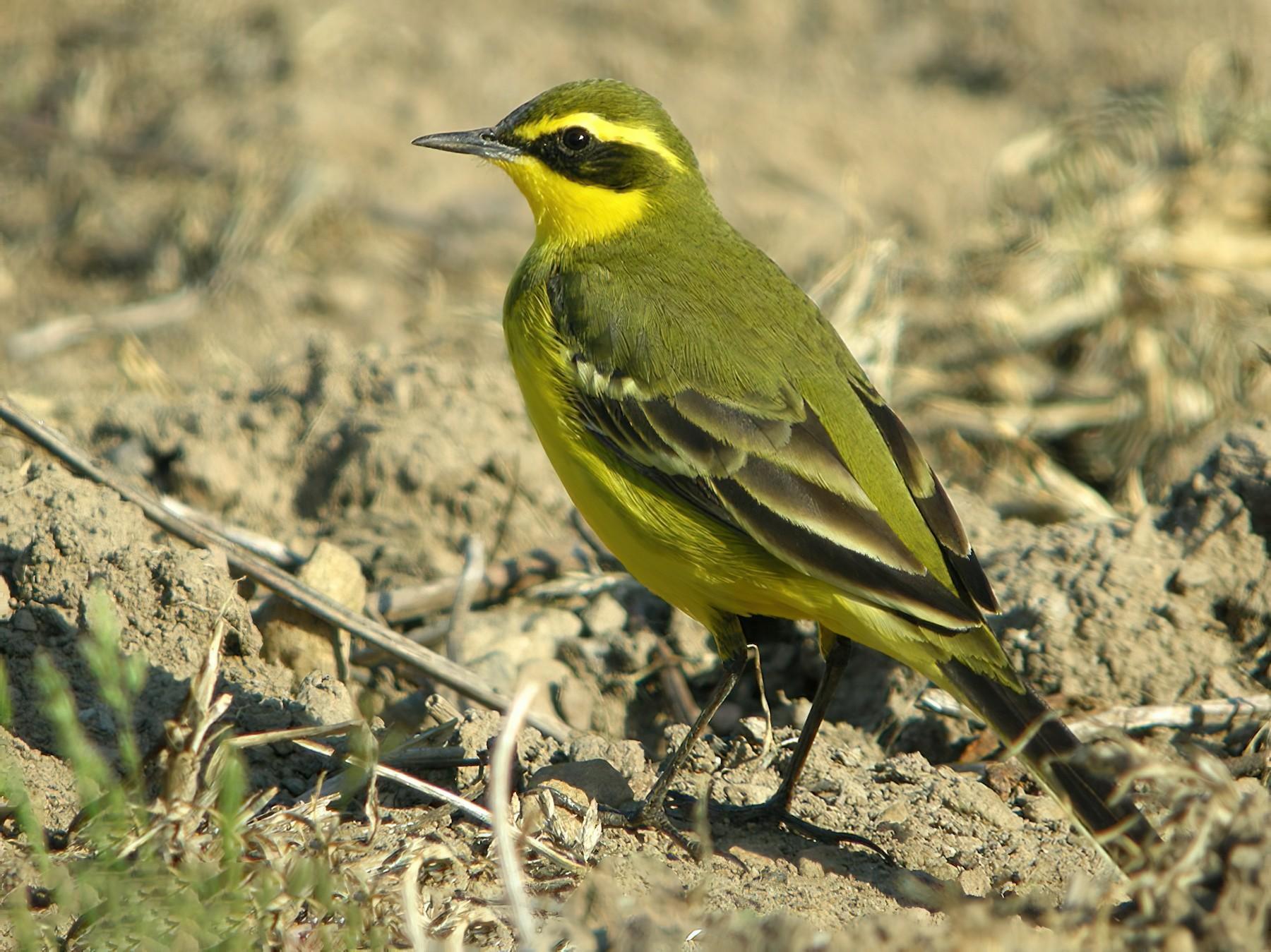 Eastern Yellow Wagtail - AUDEVARD Aurélien