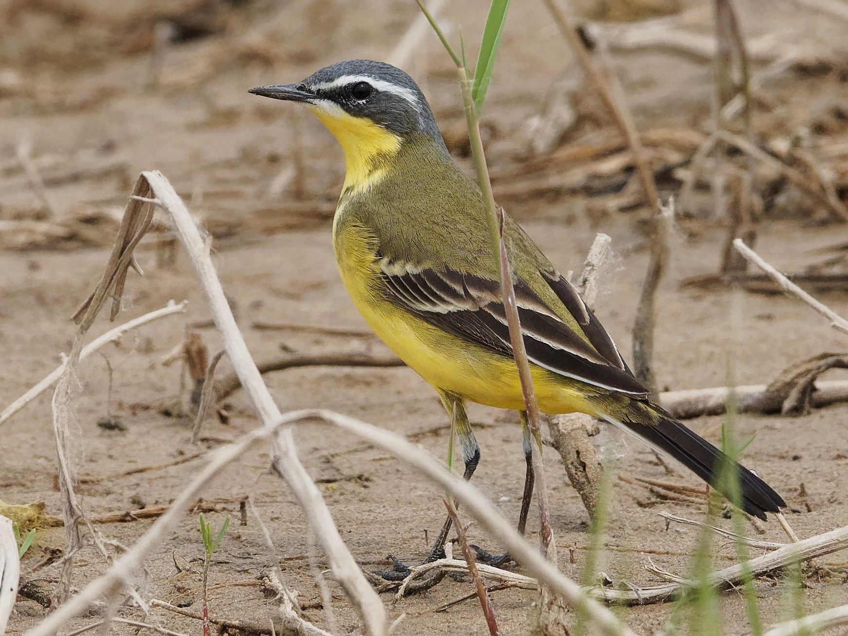 Eastern Yellow Wagtail - Vincent Wang