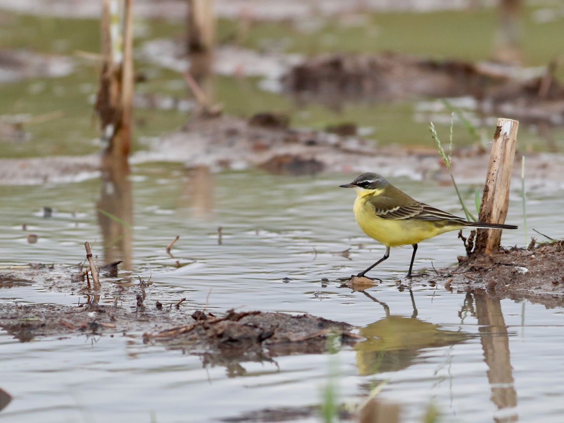 Eastern Yellow Wagtail - Ting-Wei (廷維) HUNG (洪)