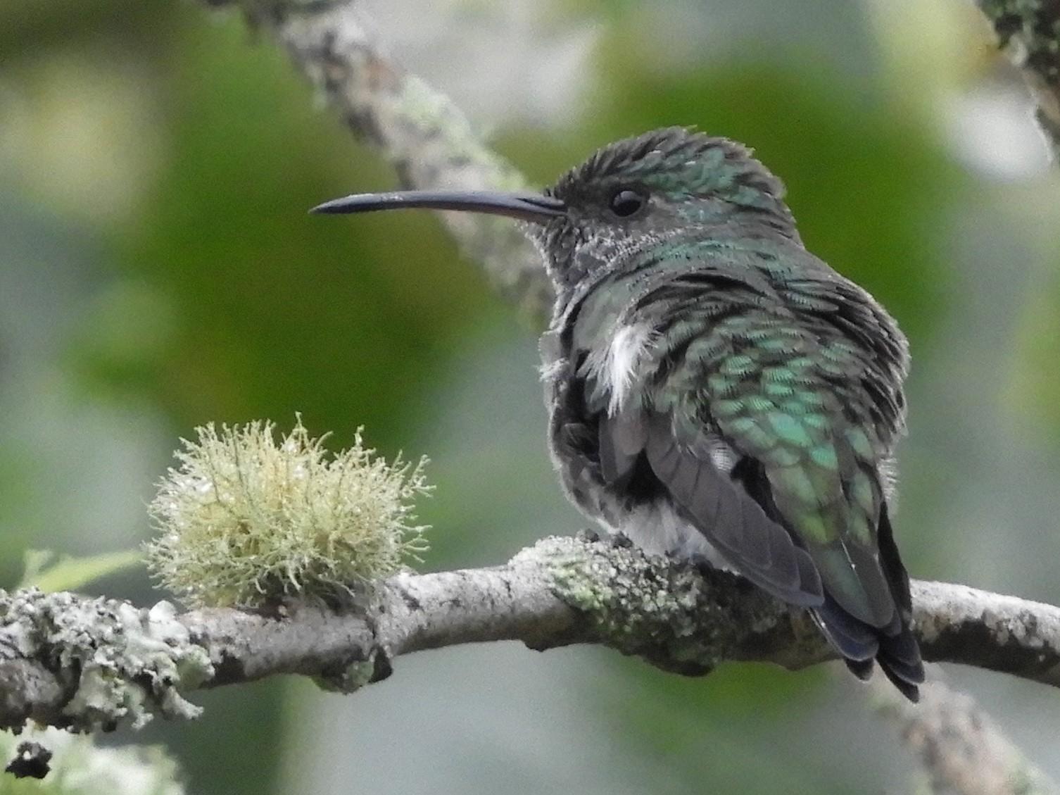 Shining-green Hummingbird - Maureen Blackford
