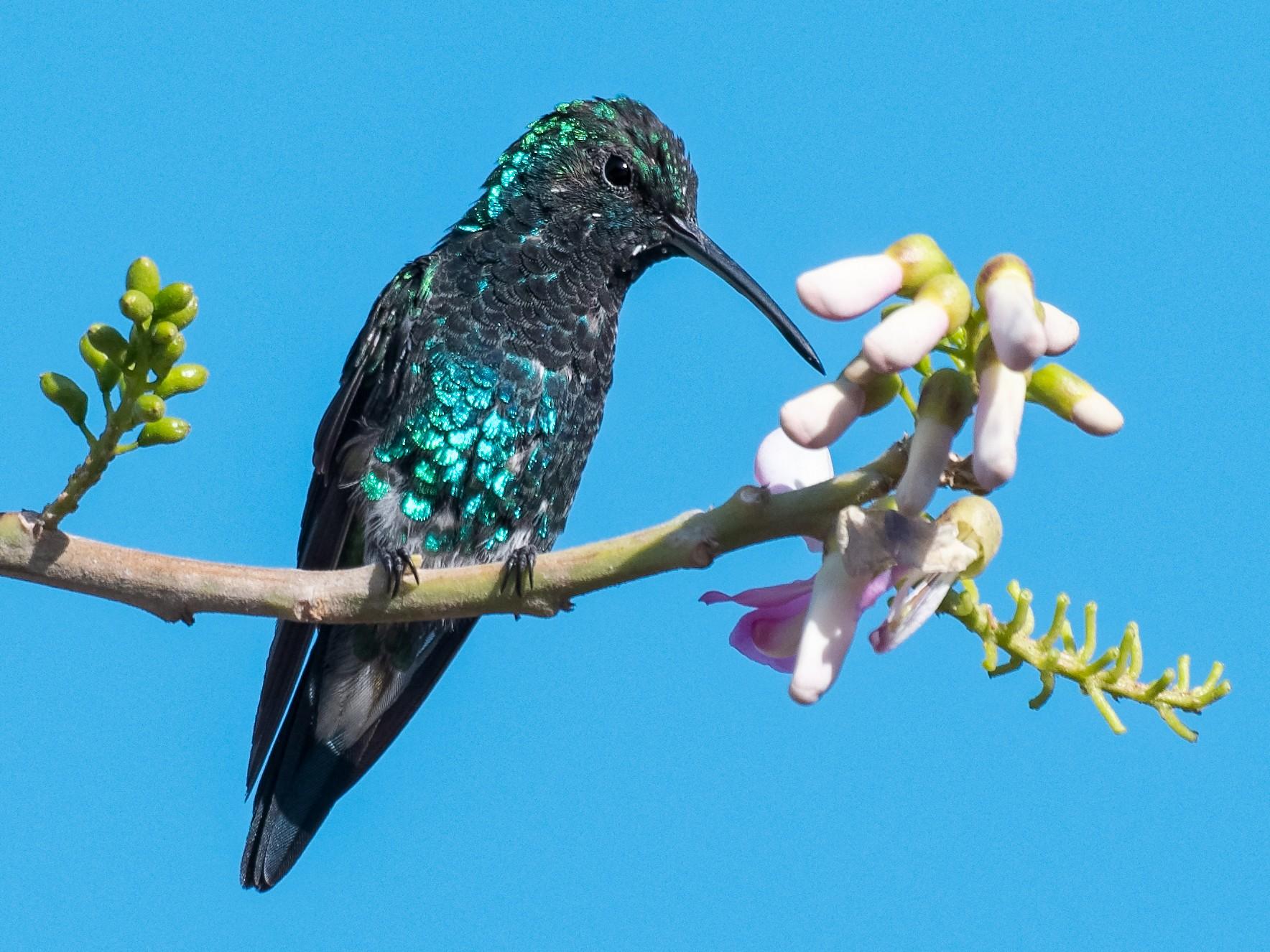 Shining-green Hummingbird - Don Danko