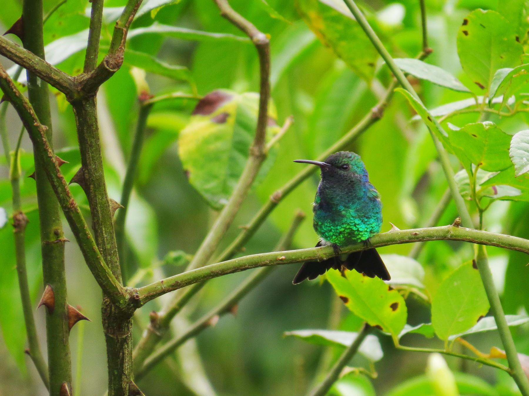 Shining-green Hummingbird - Jorge Muñoz García   CAQUETA BIRDING