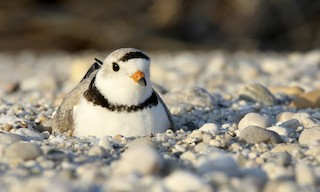 - Piping Plover
