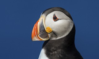 - Atlantic Puffin