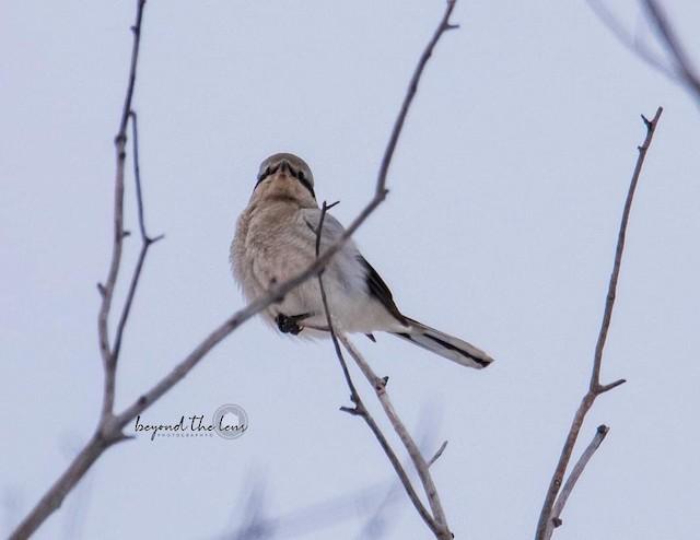 ©Kathy Koenig - Northern Shrike