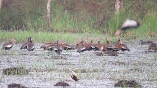 Black-bellied Whistling-Duck, ML300608921