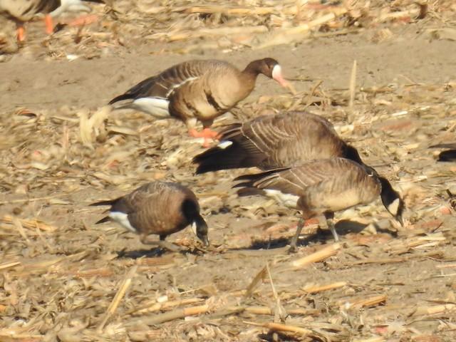Cackling Goose (minima)