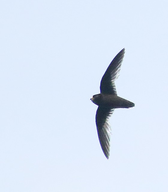White-fronted Swift