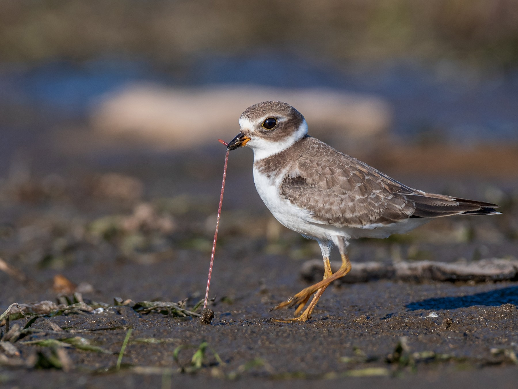 Semipalmated Plover - Kyle Tansley