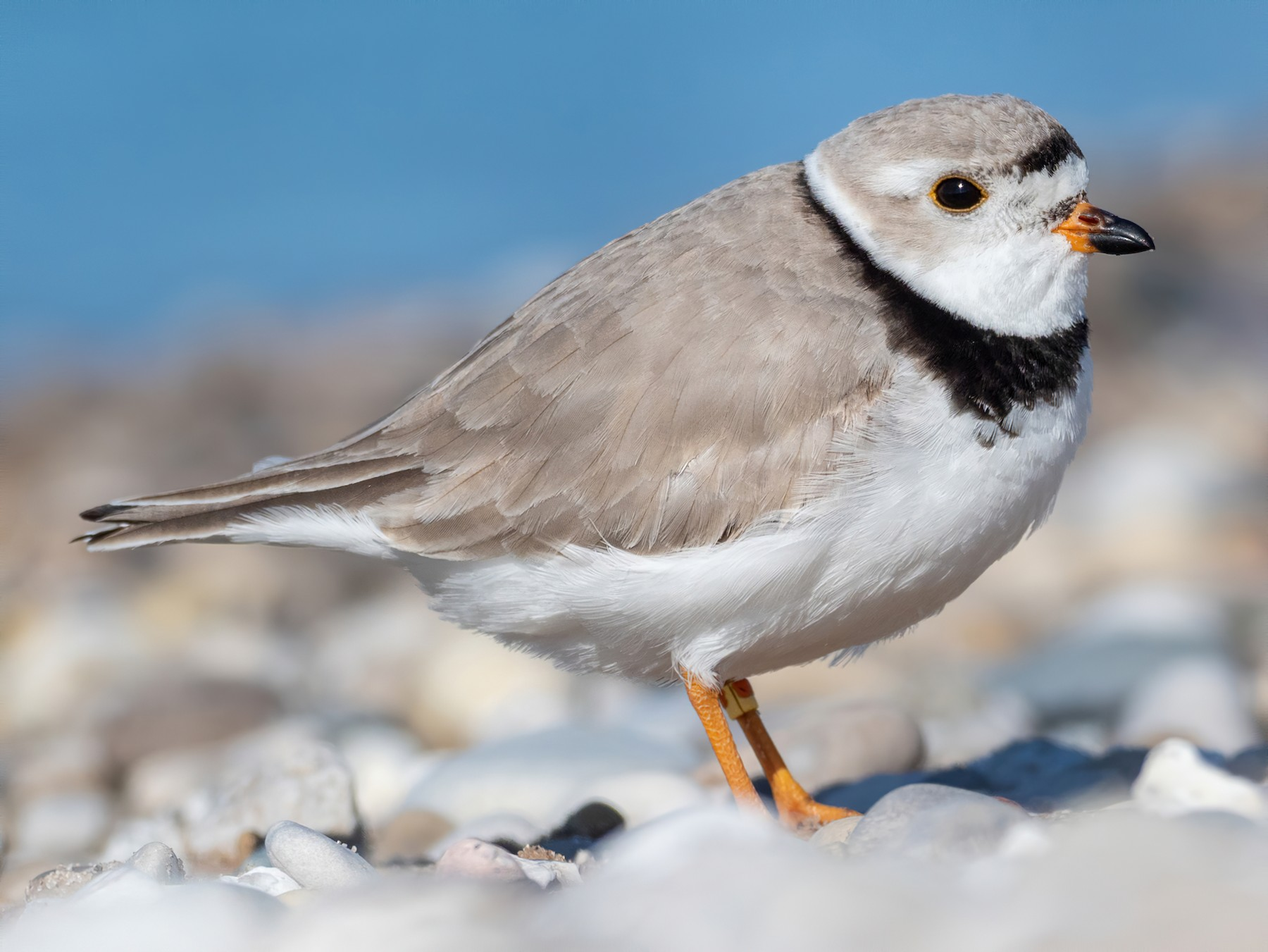 Piping Plover - Forest Jarvis