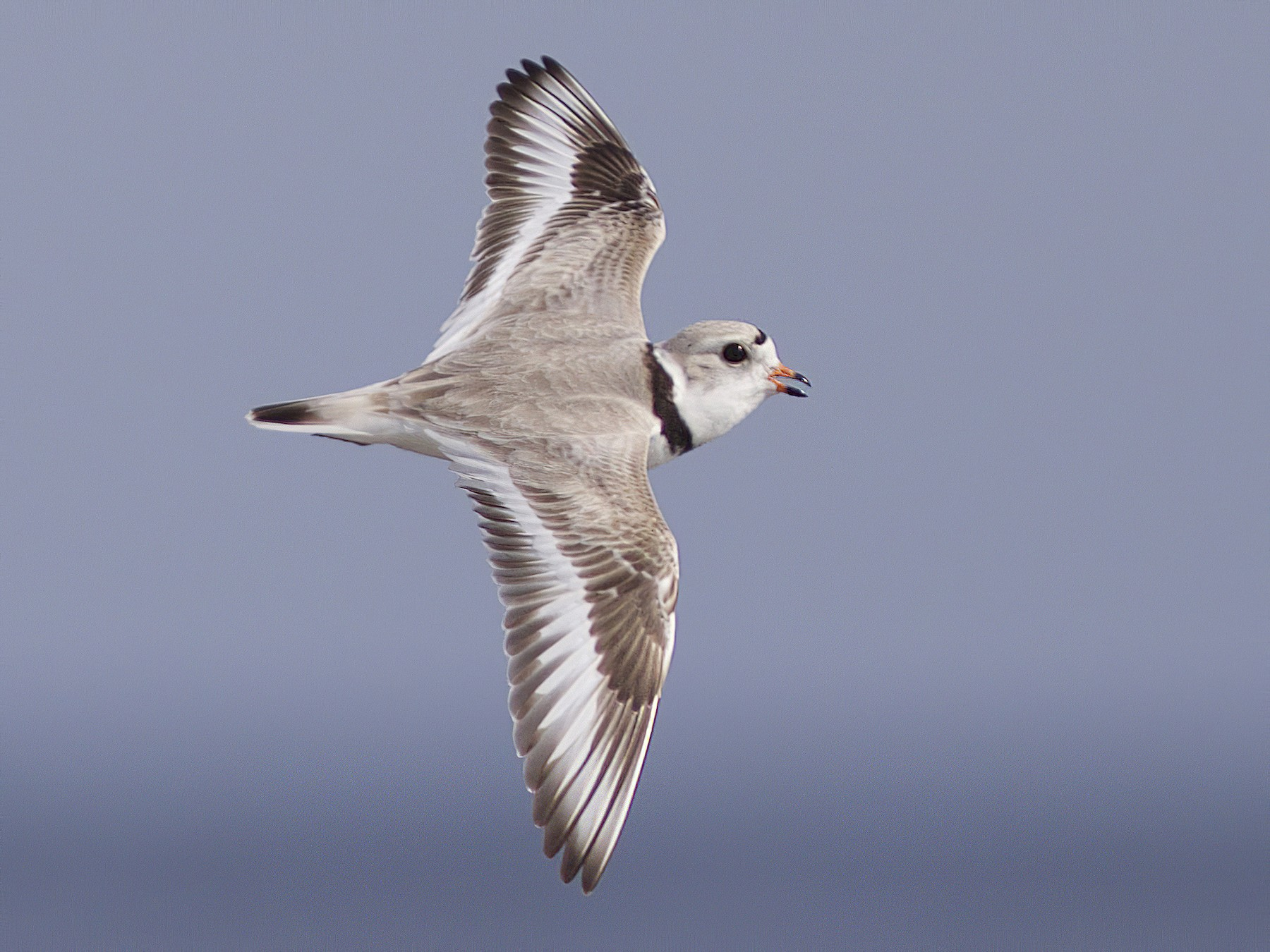 Piping Plover - Doug Hitchcox