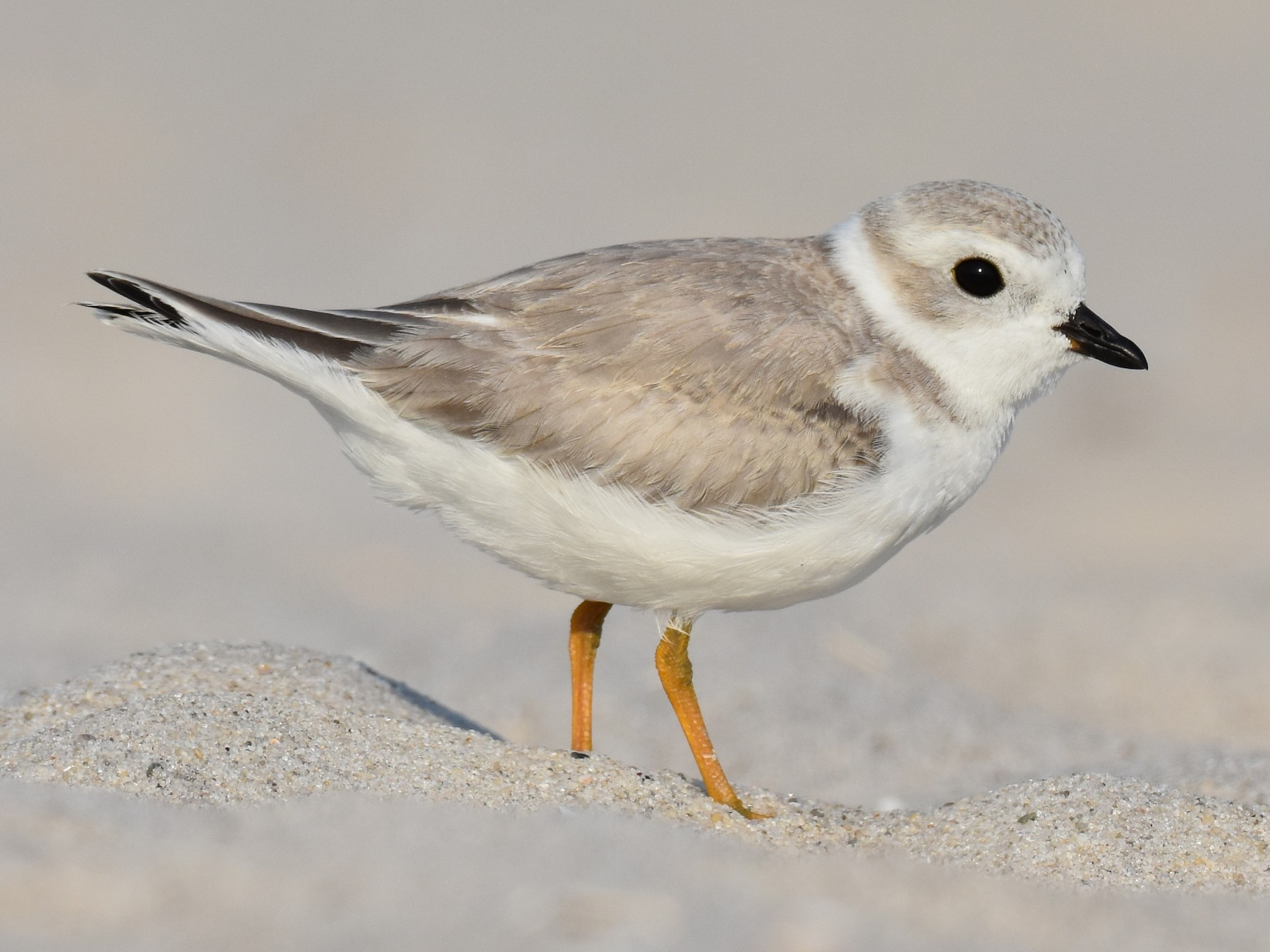 Piping Plover - Jack Parlapiano
