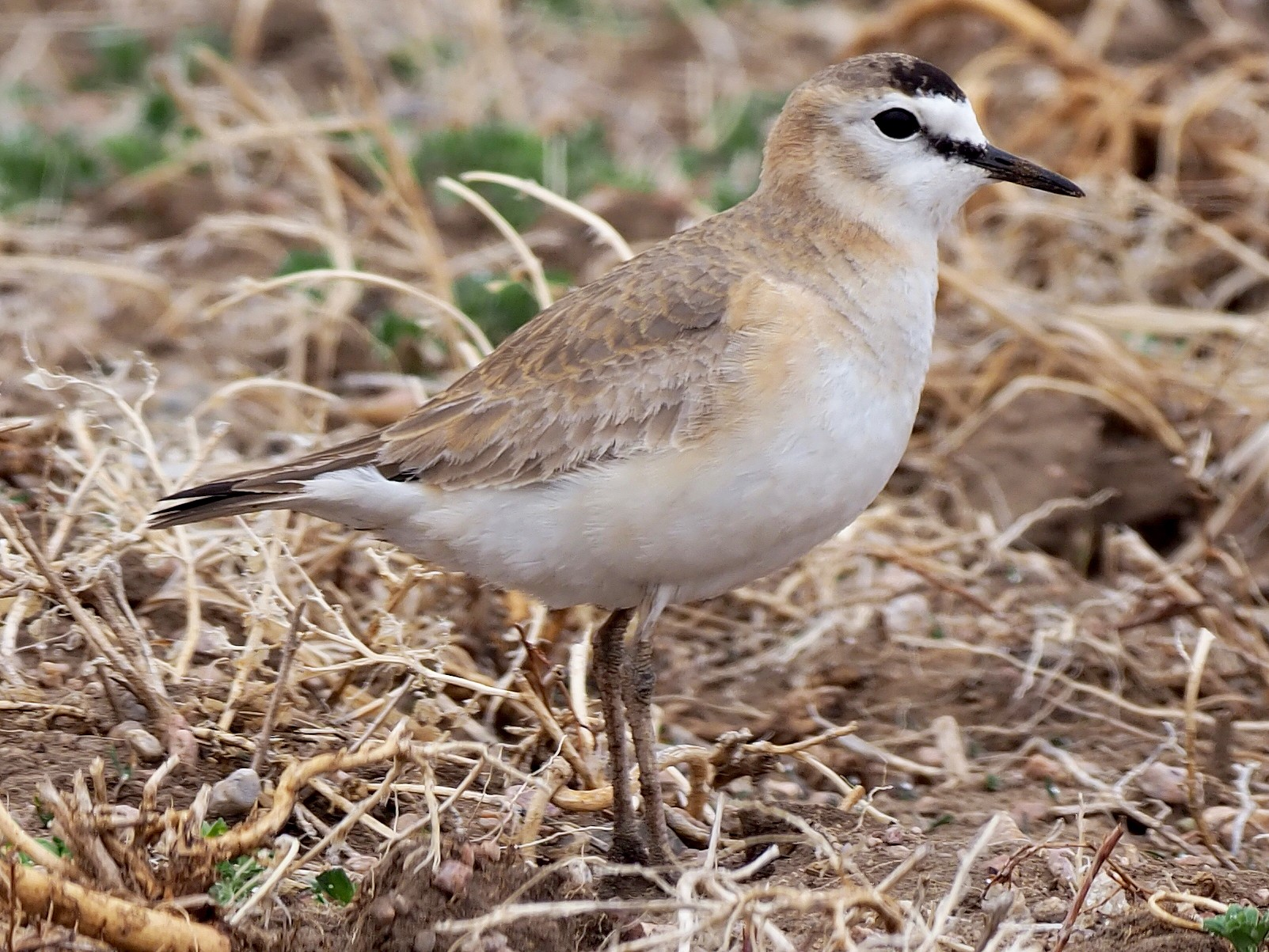 Mountain Plover - Stephan Lorenz