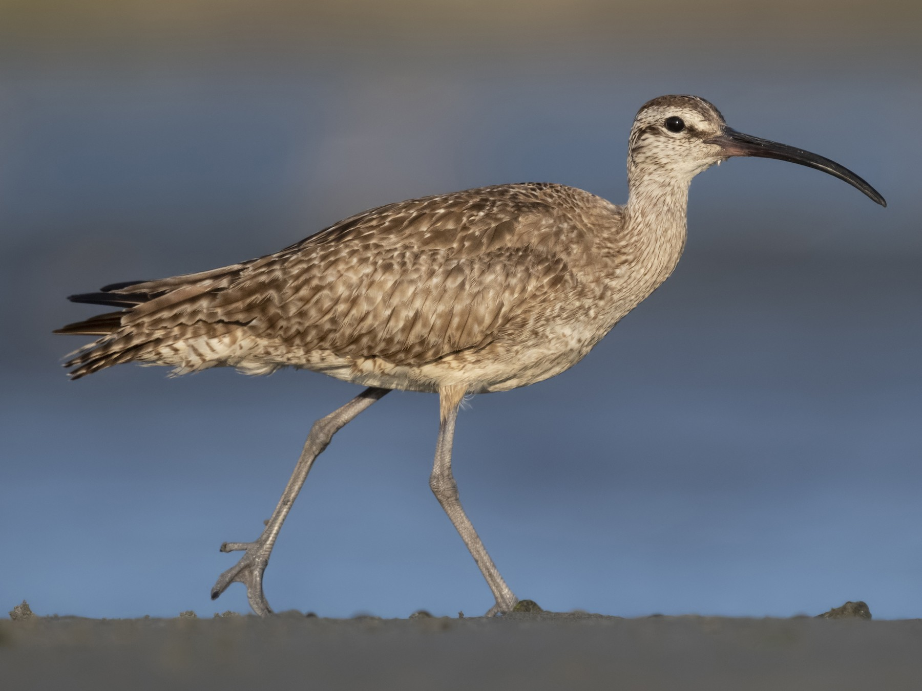 Whimbrel - Sharif Uddin