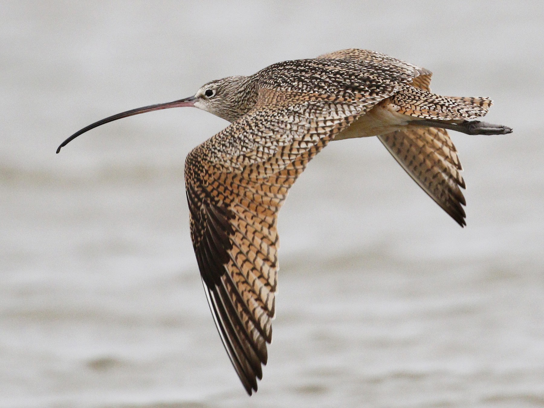 Long-billed Curlew - Ted Keyel