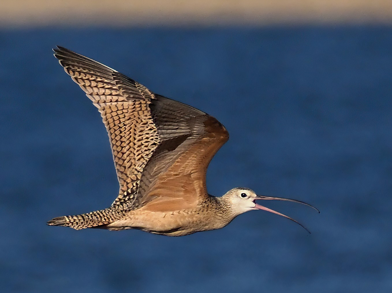 Long-billed Curlew - Andrew Spencer