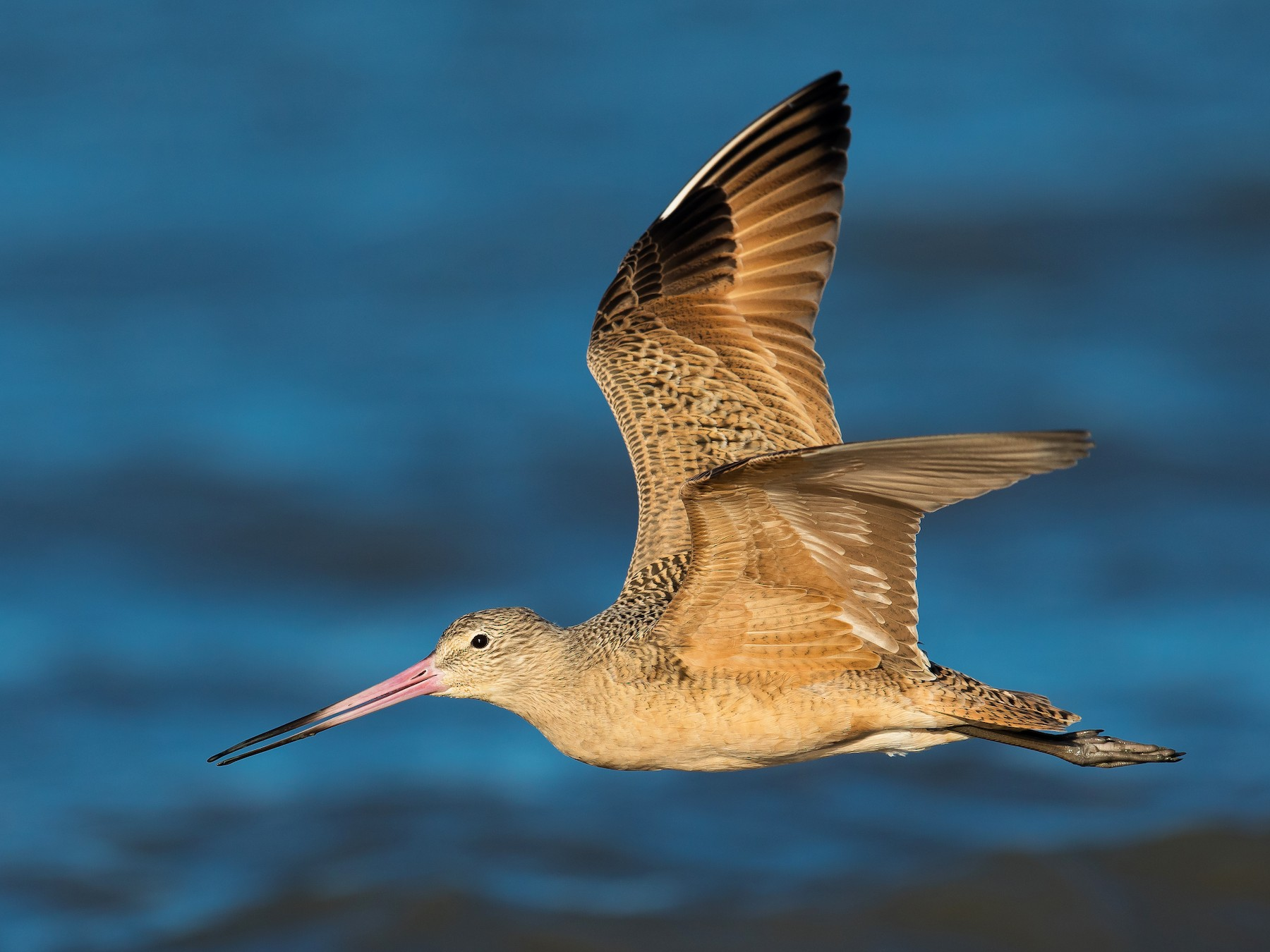 Marbled Godwit - Dorian Anderson