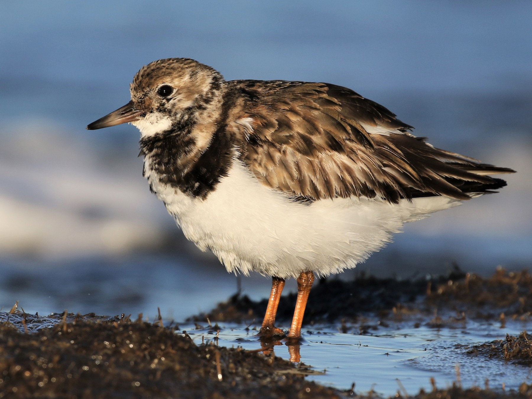 Ruddy Turnstone - Baxter Beamer
