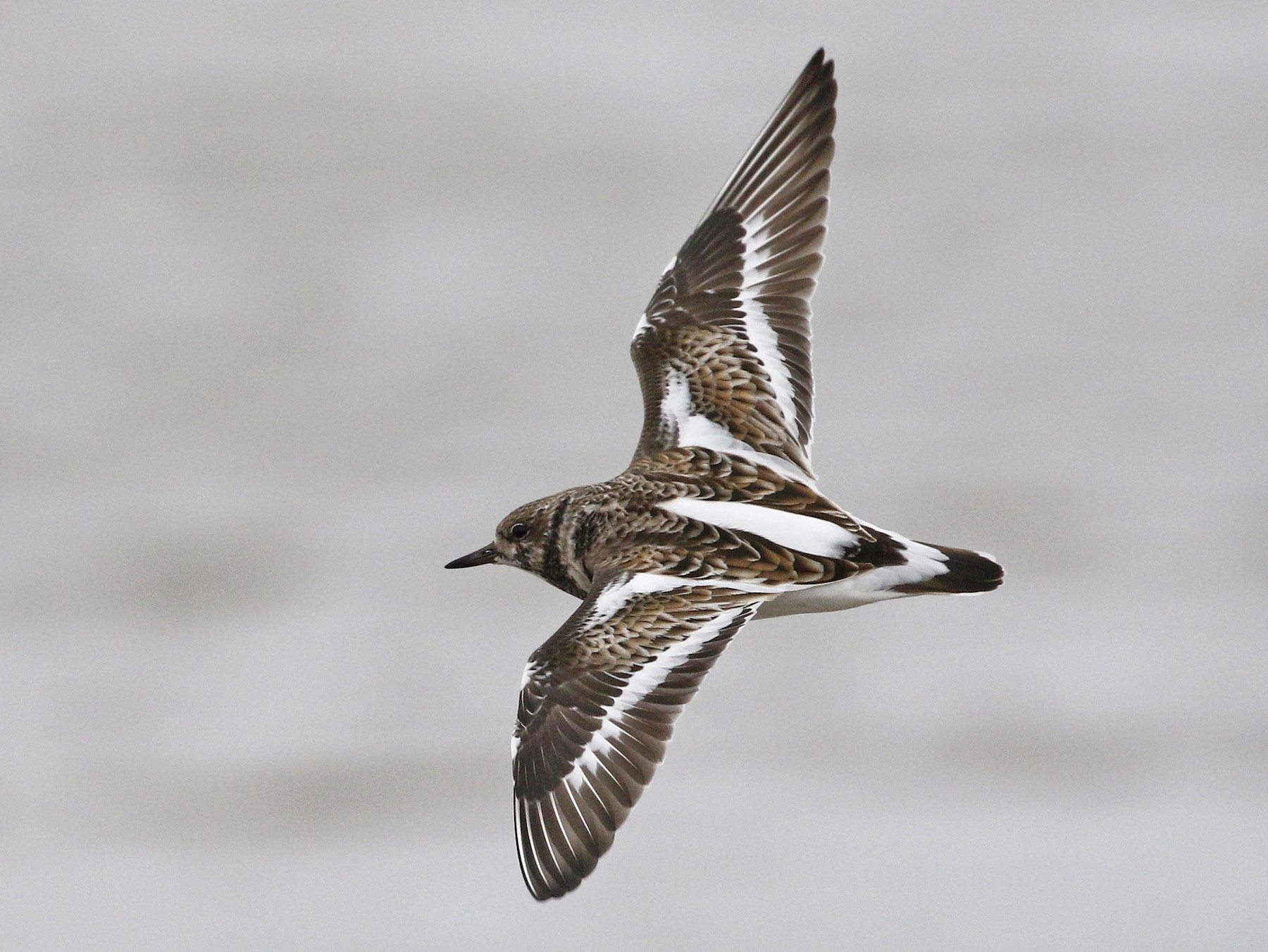 Ruddy Turnstone - Ted Keyel