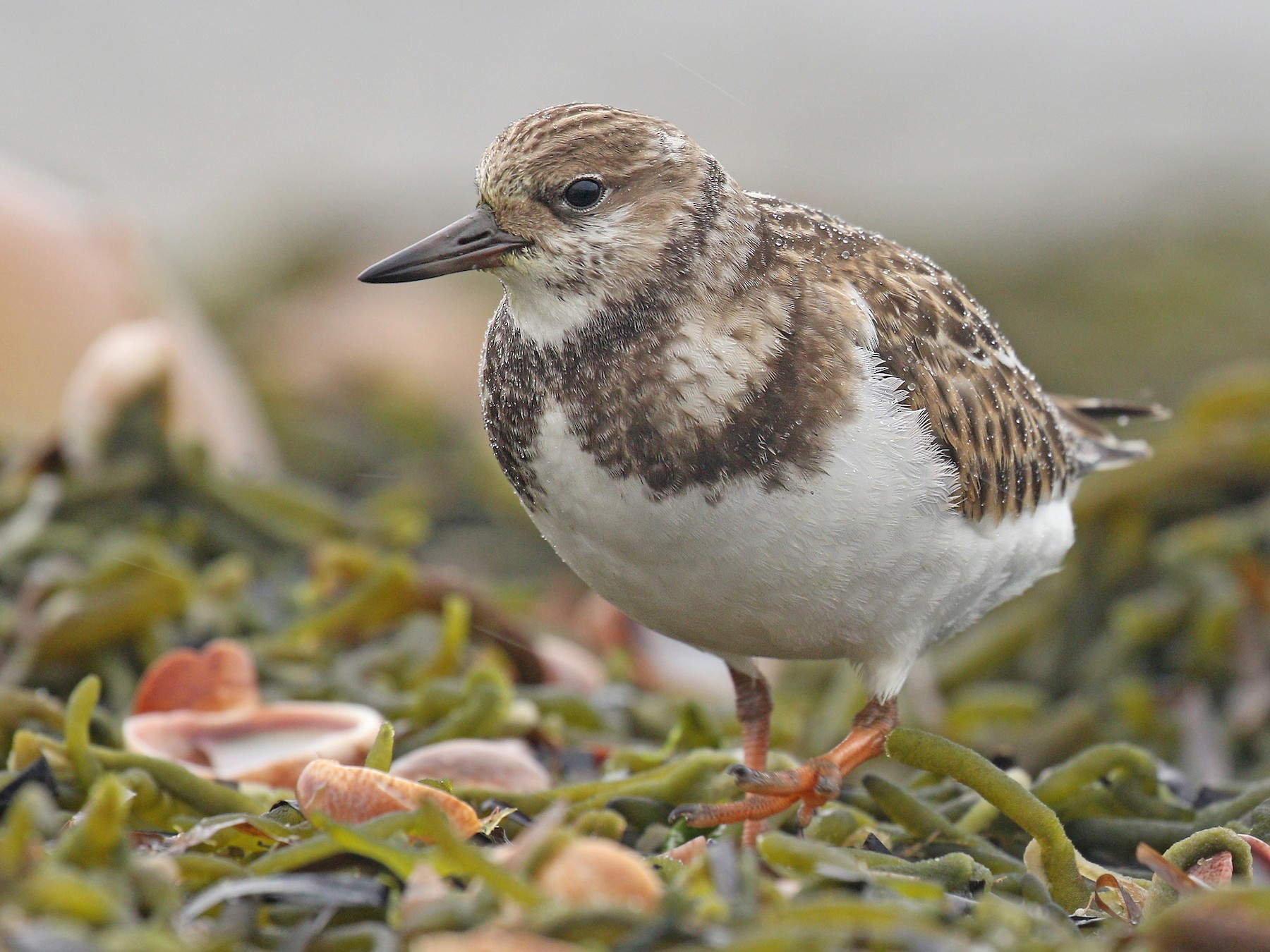 Ruddy Turnstone - Ryan Schain