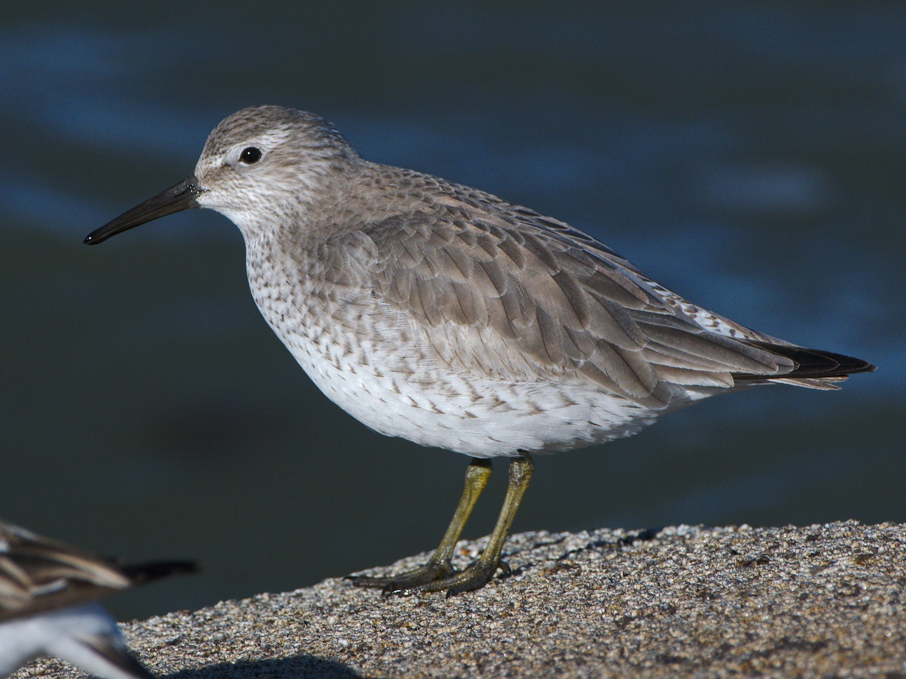 Red Knot - Carl Miller