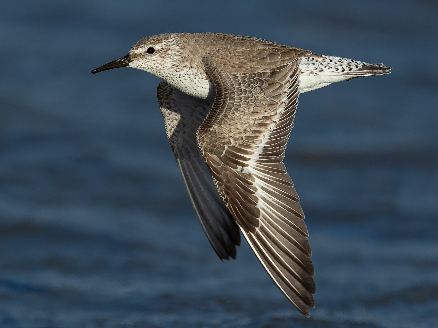 Red Knot - Dorian Anderson
