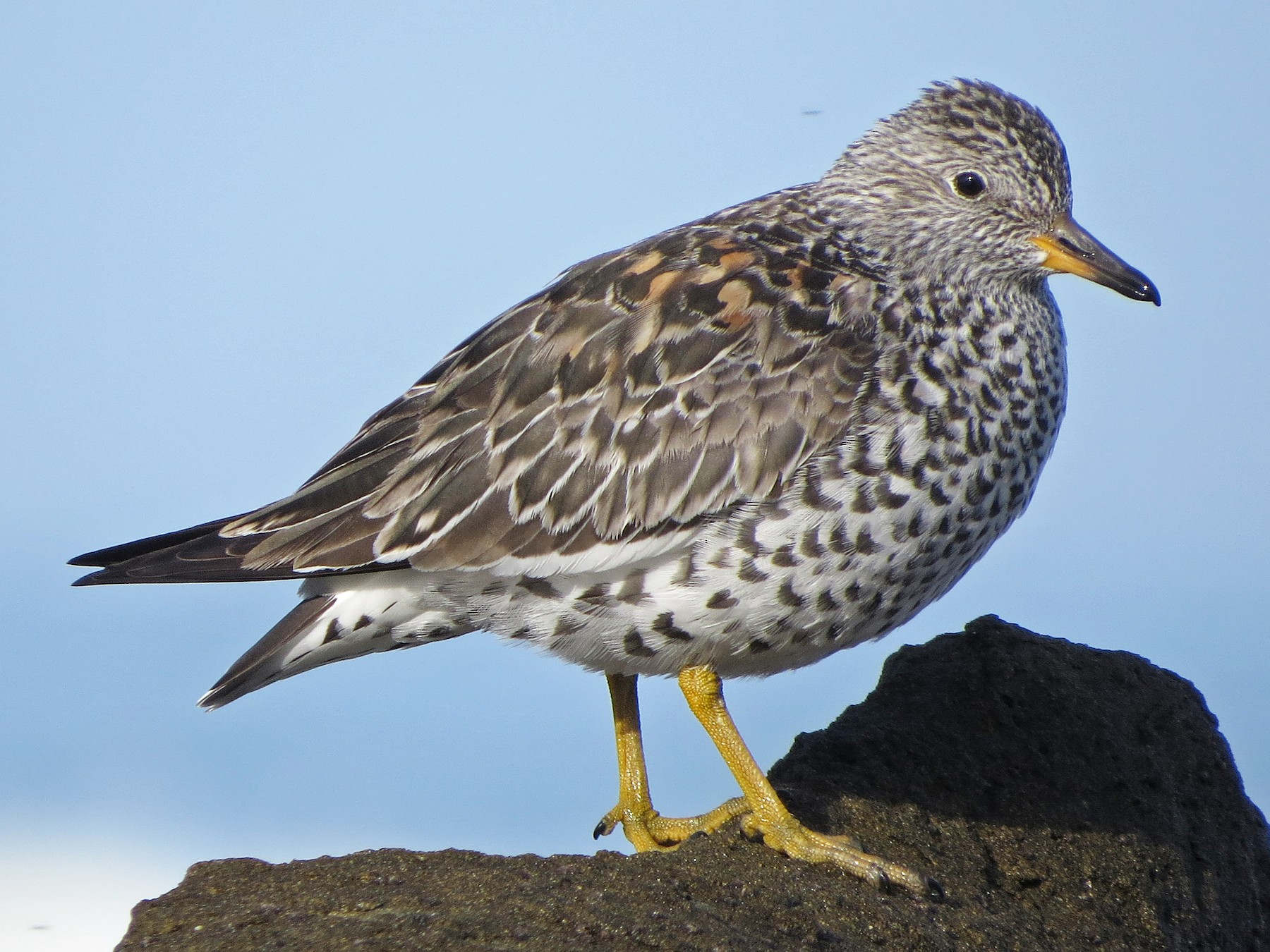 Surfbird - Tom Edell