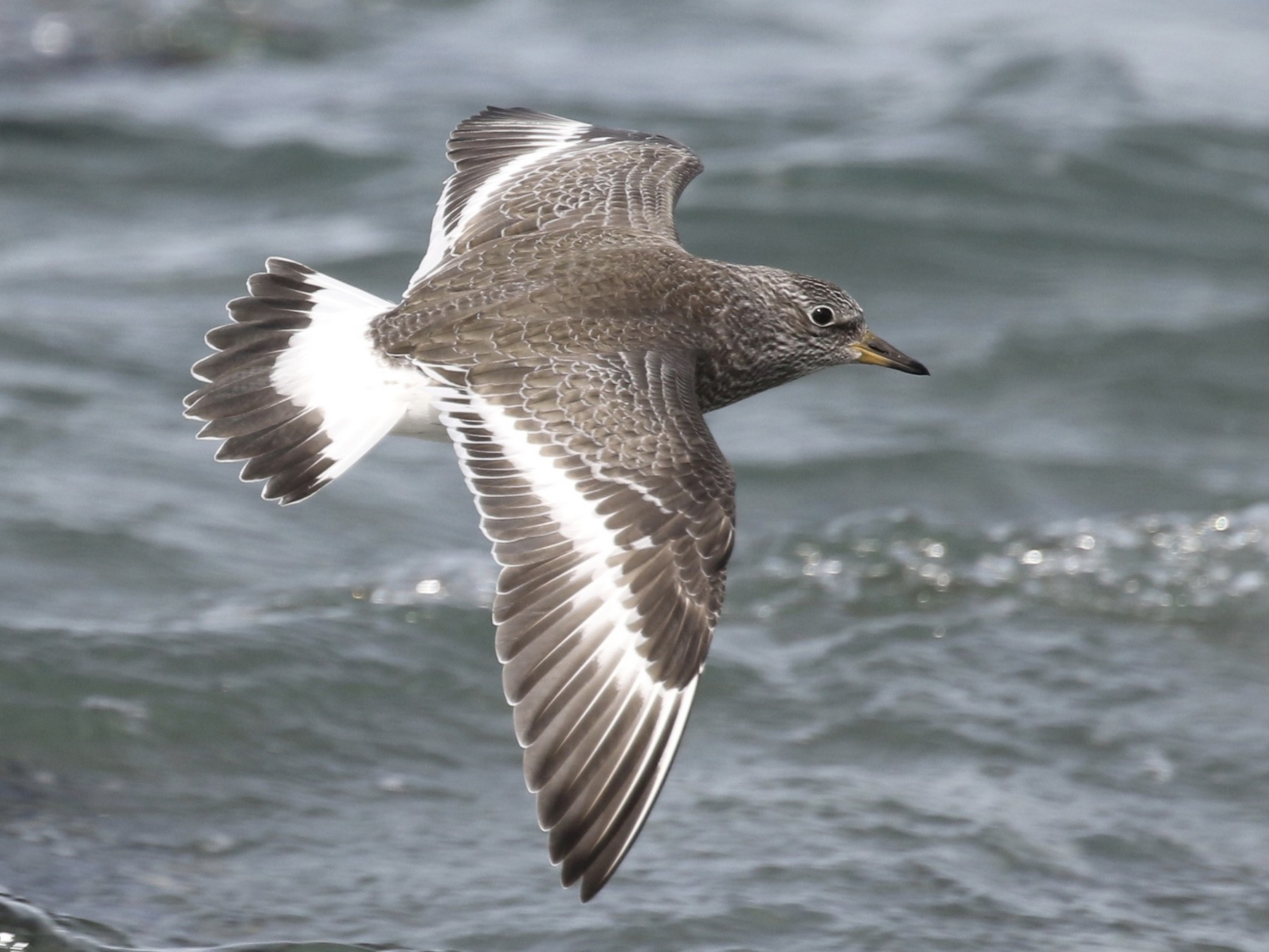 Surfbird - Russ Morgan