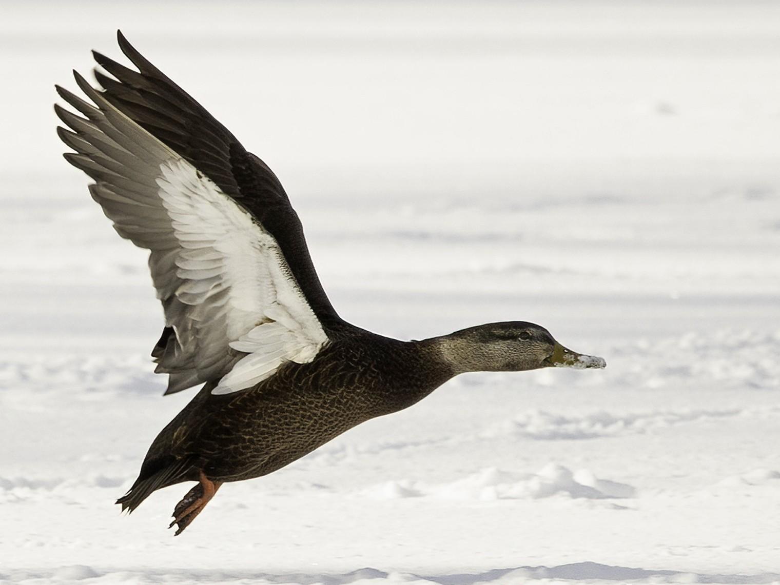 American Black Duck - Cam Nikkel