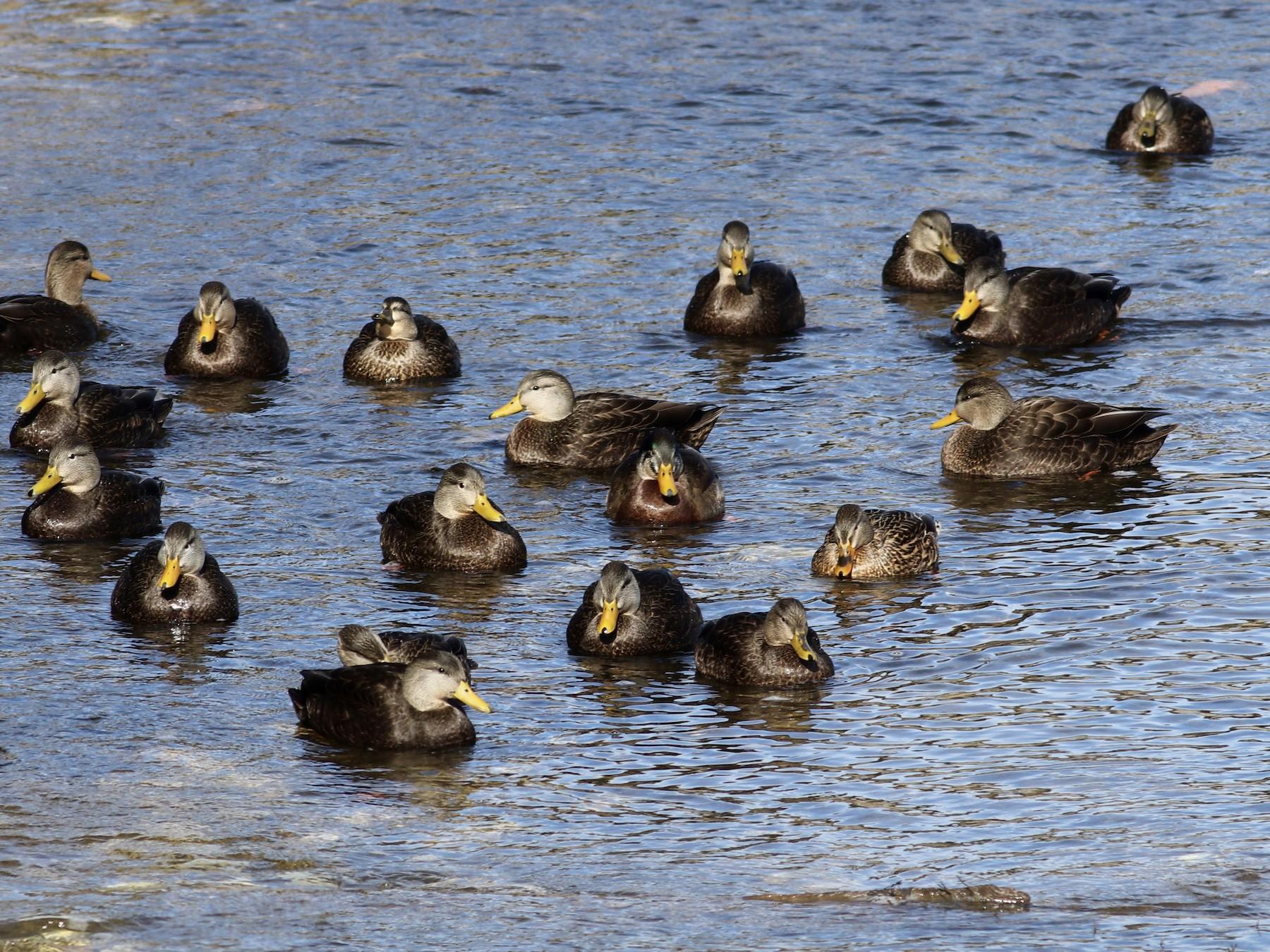 American Black Duck - George Forsyth