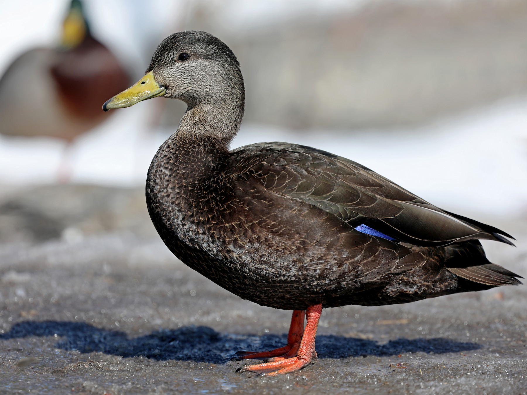 American Black Duck - Daniel Jauvin