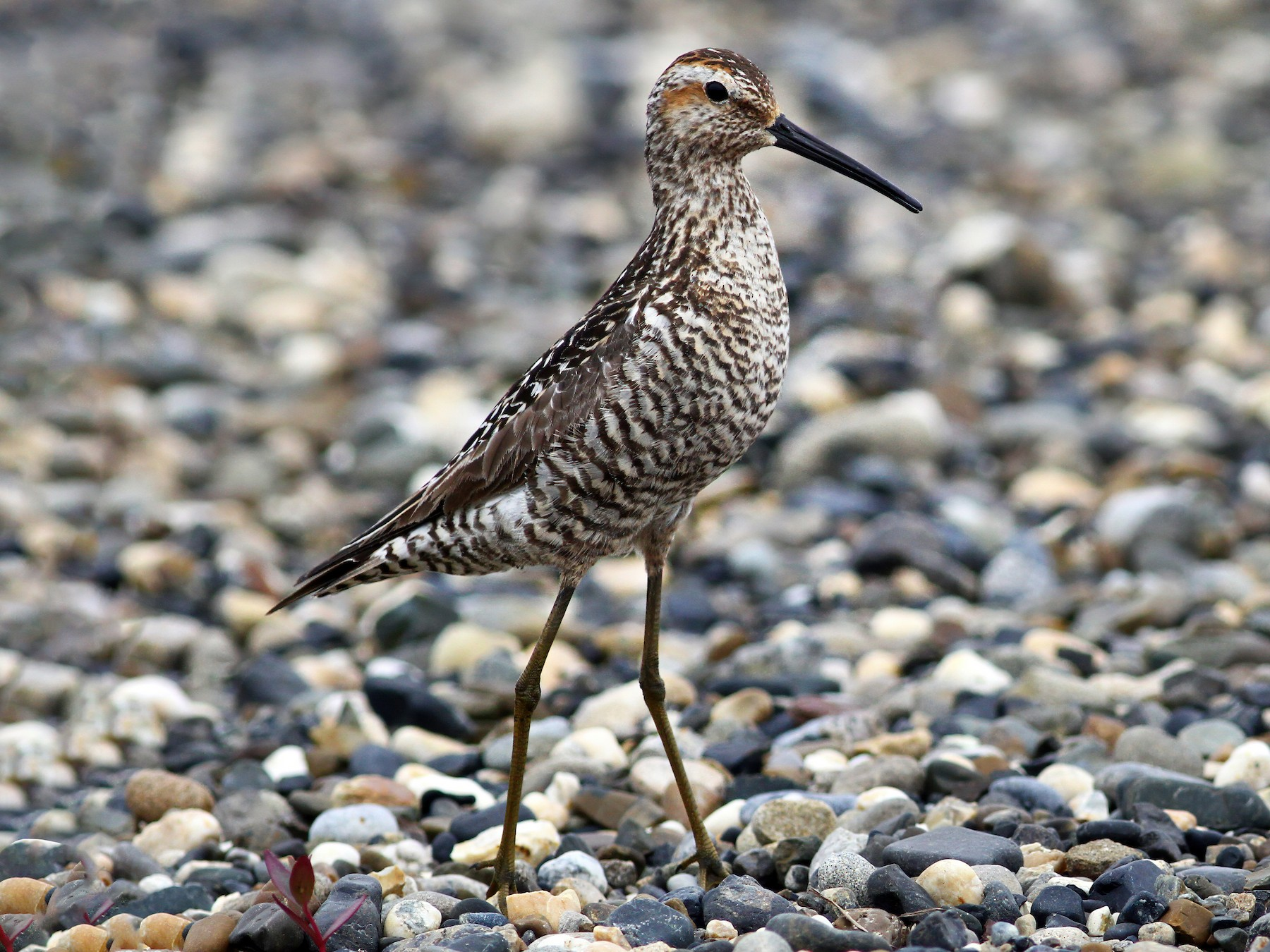 Stilt Sandpiper - Andrew Spencer