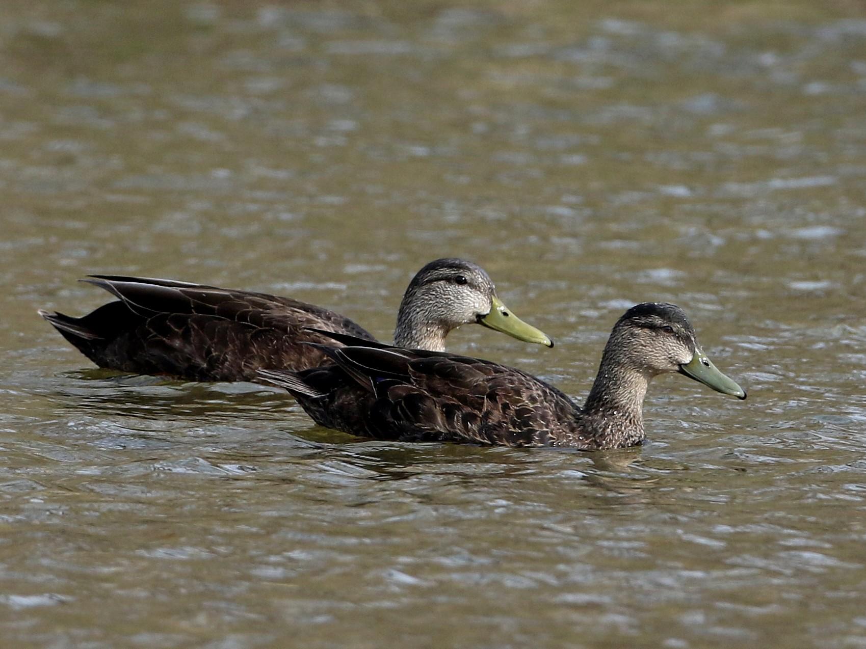 American Black Duck - Jay McGowan