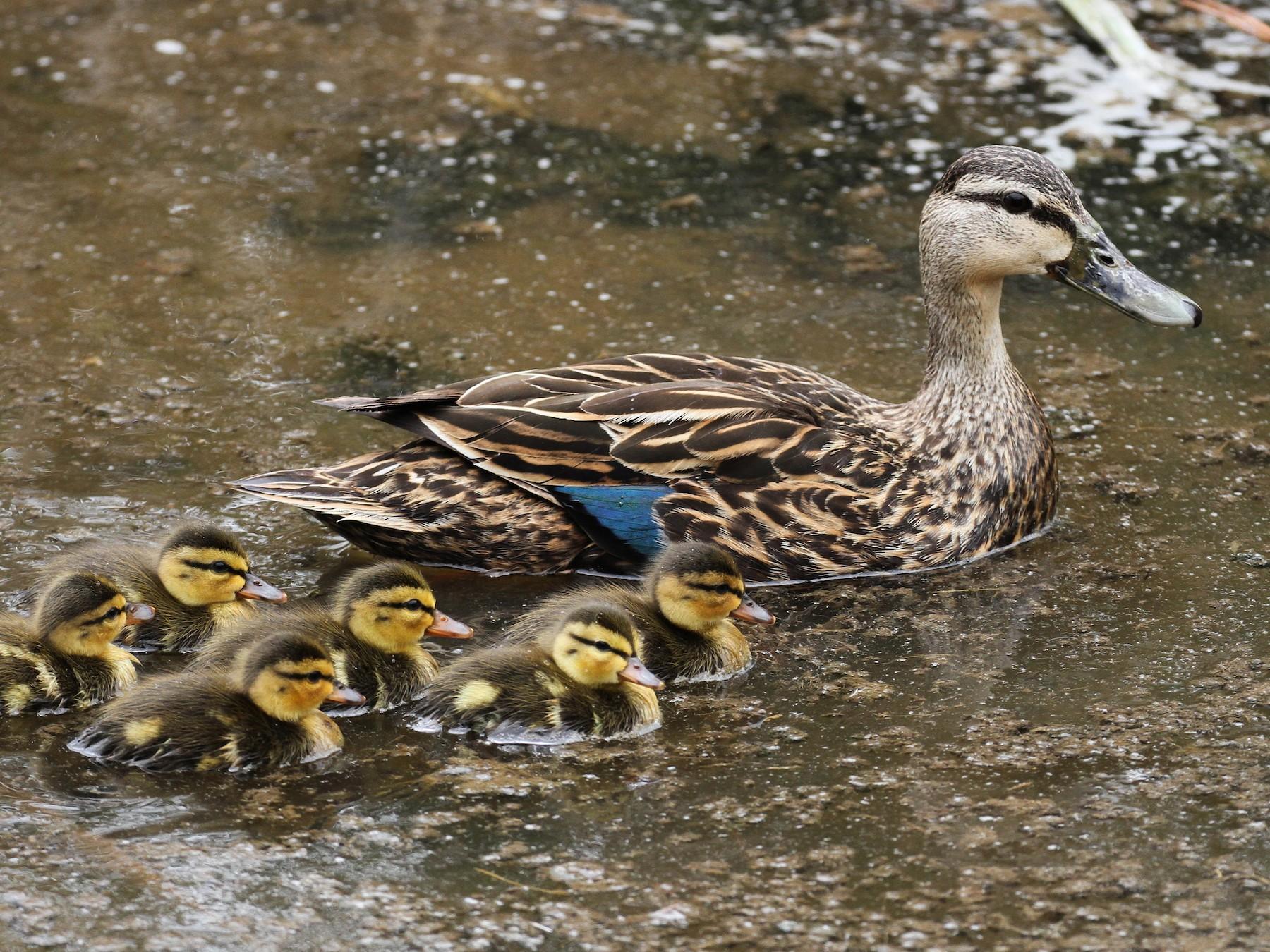 Mottled Duck - Alex Lamoreaux