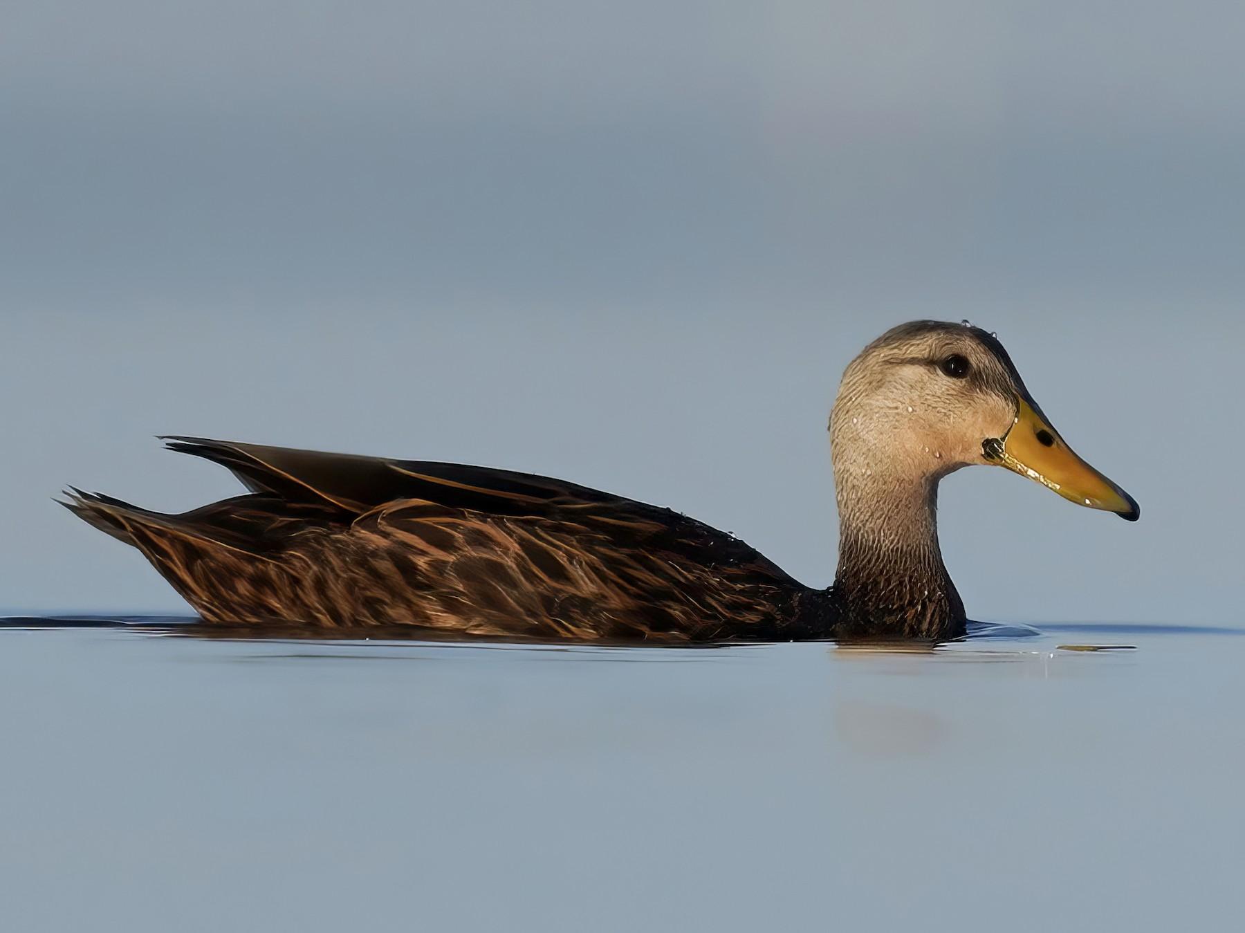 Mottled Duck - Derek Hameister