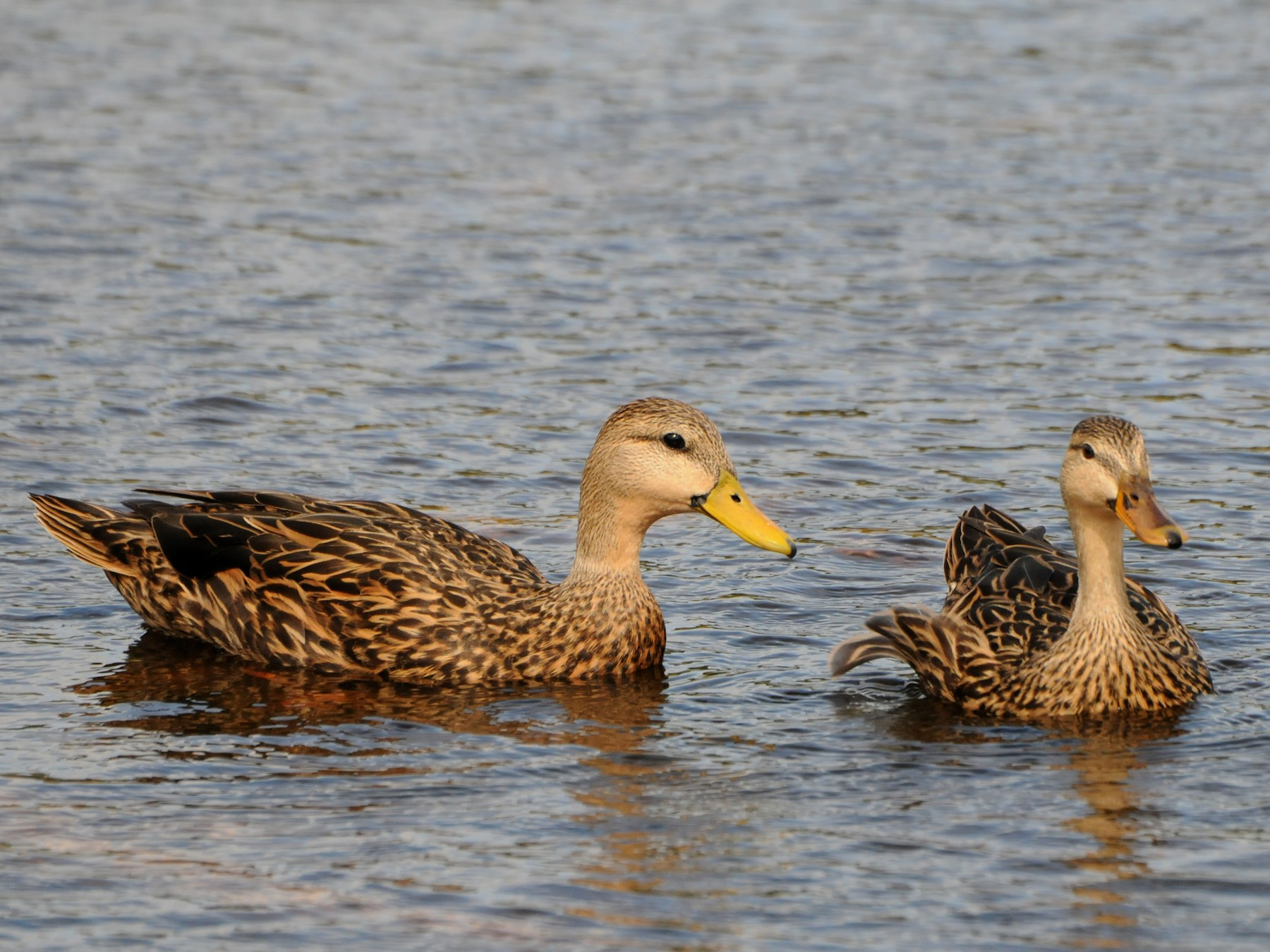 Mottled Duck - marvin hyett