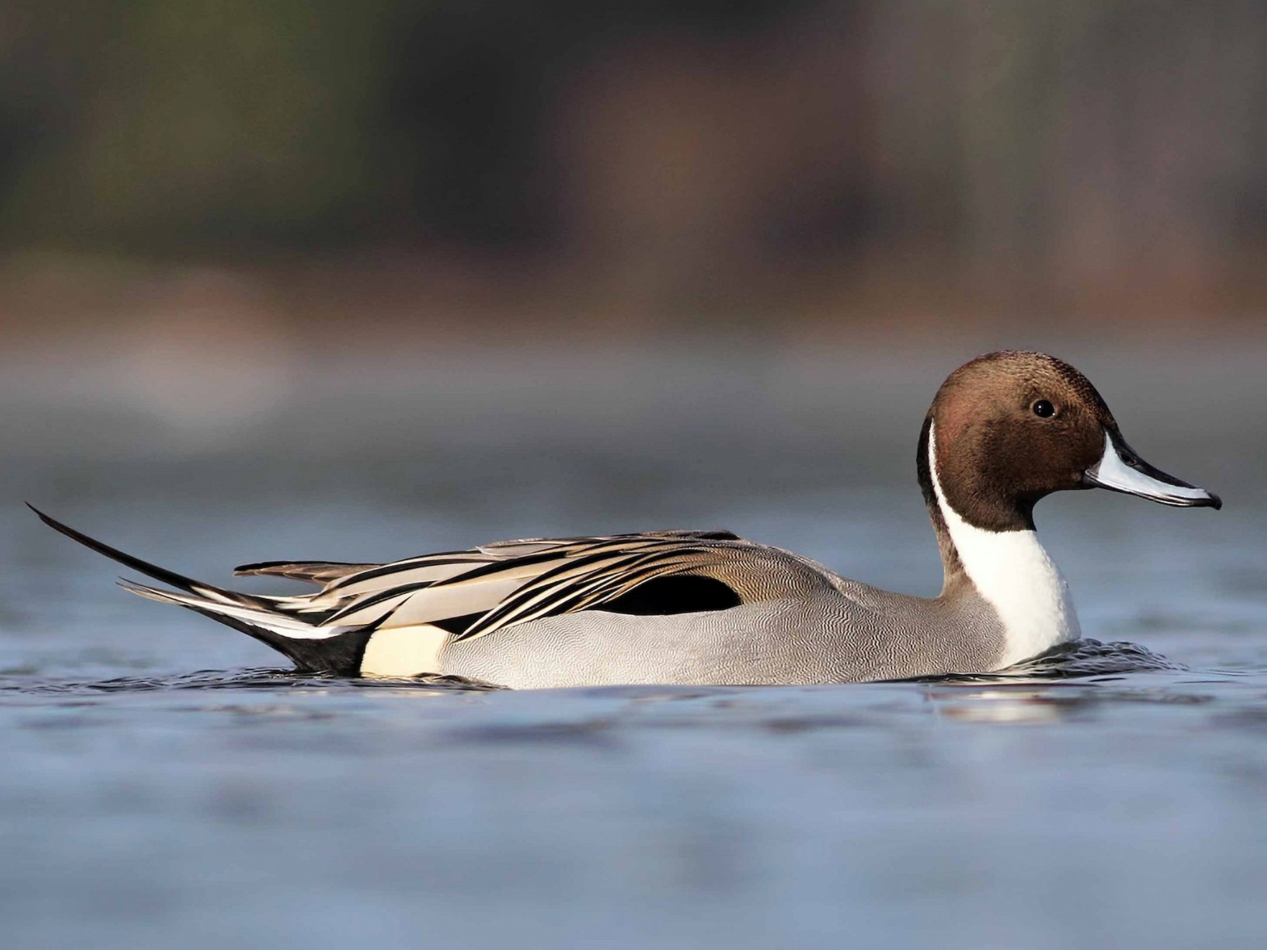 Northern Pintail - Liron Gertsman
